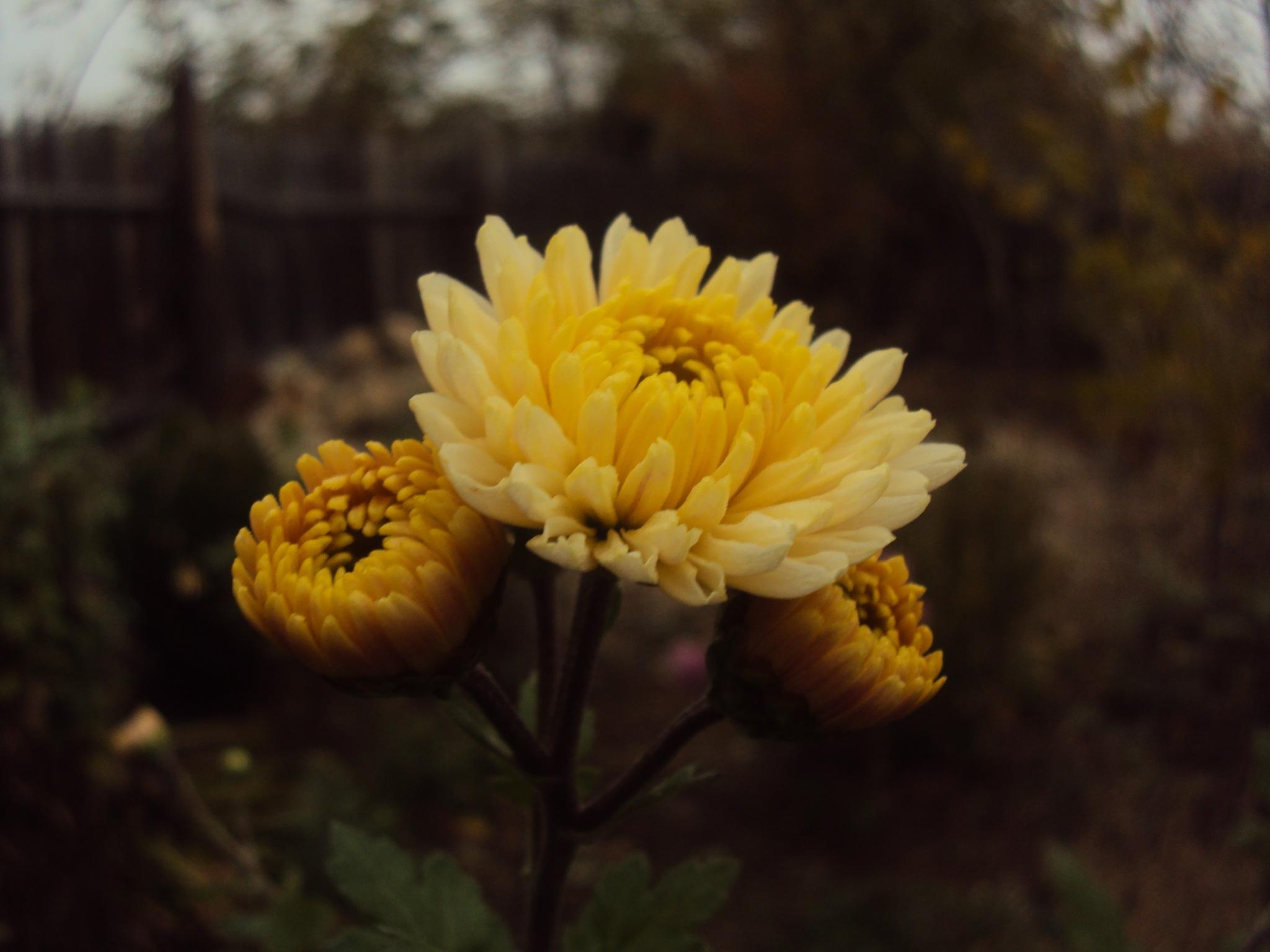 autumn flower  by Mina