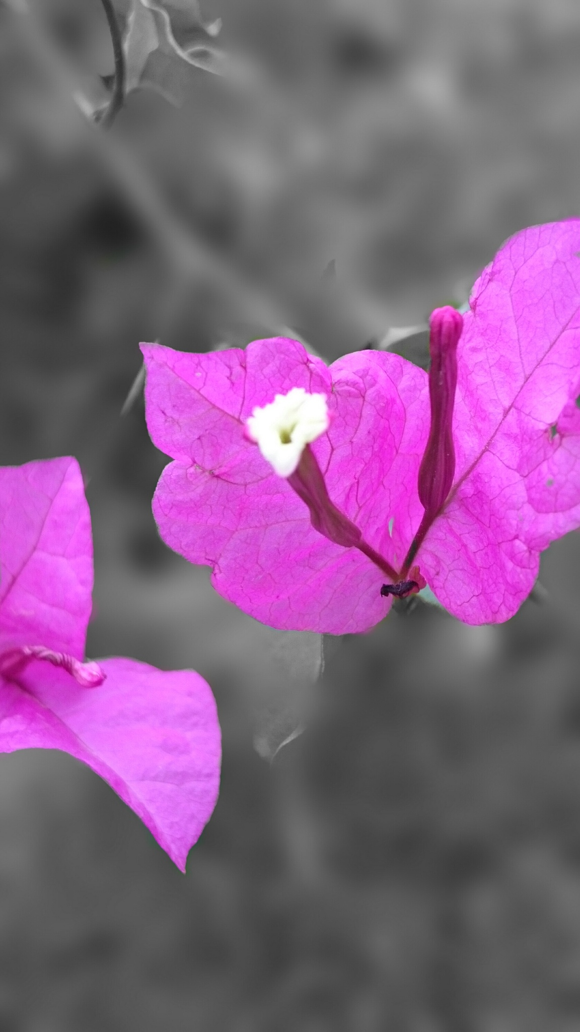 Pink Flower by Ahmad Alsayed