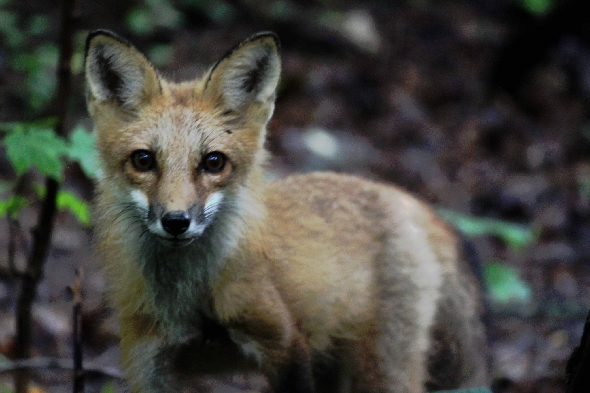 Young Red Fox by Karen Harris