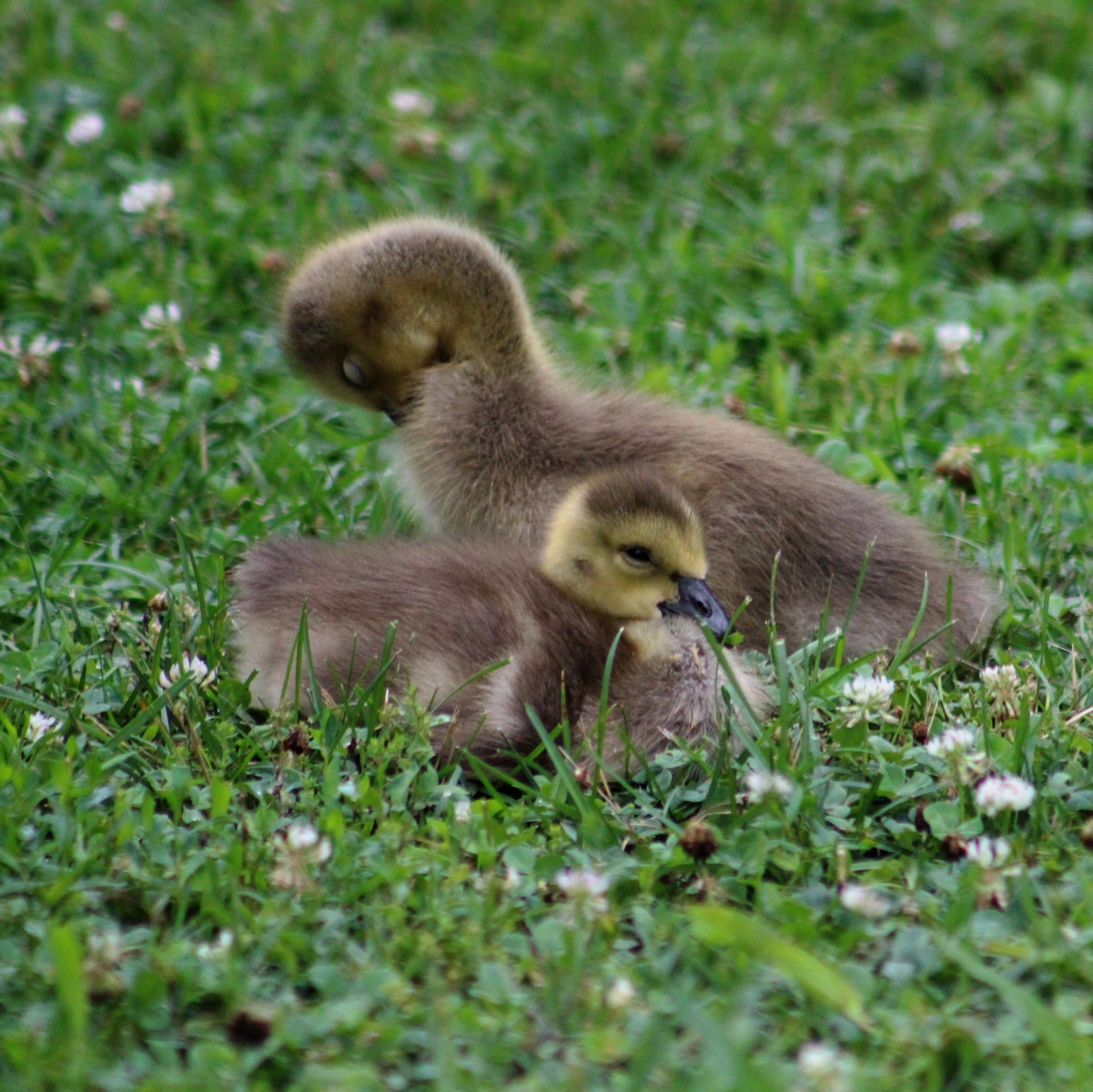 Baby Geese by Karen Harris