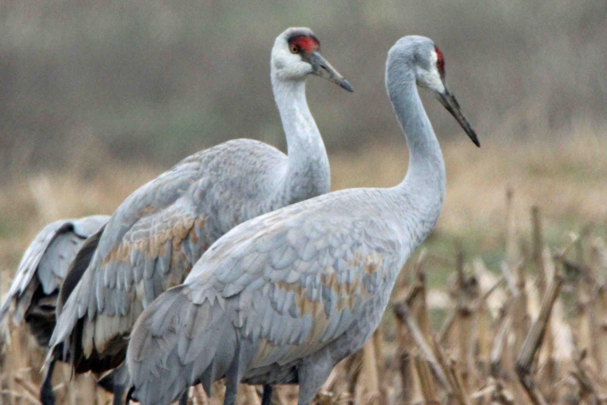 Cranes  by Karen Harris