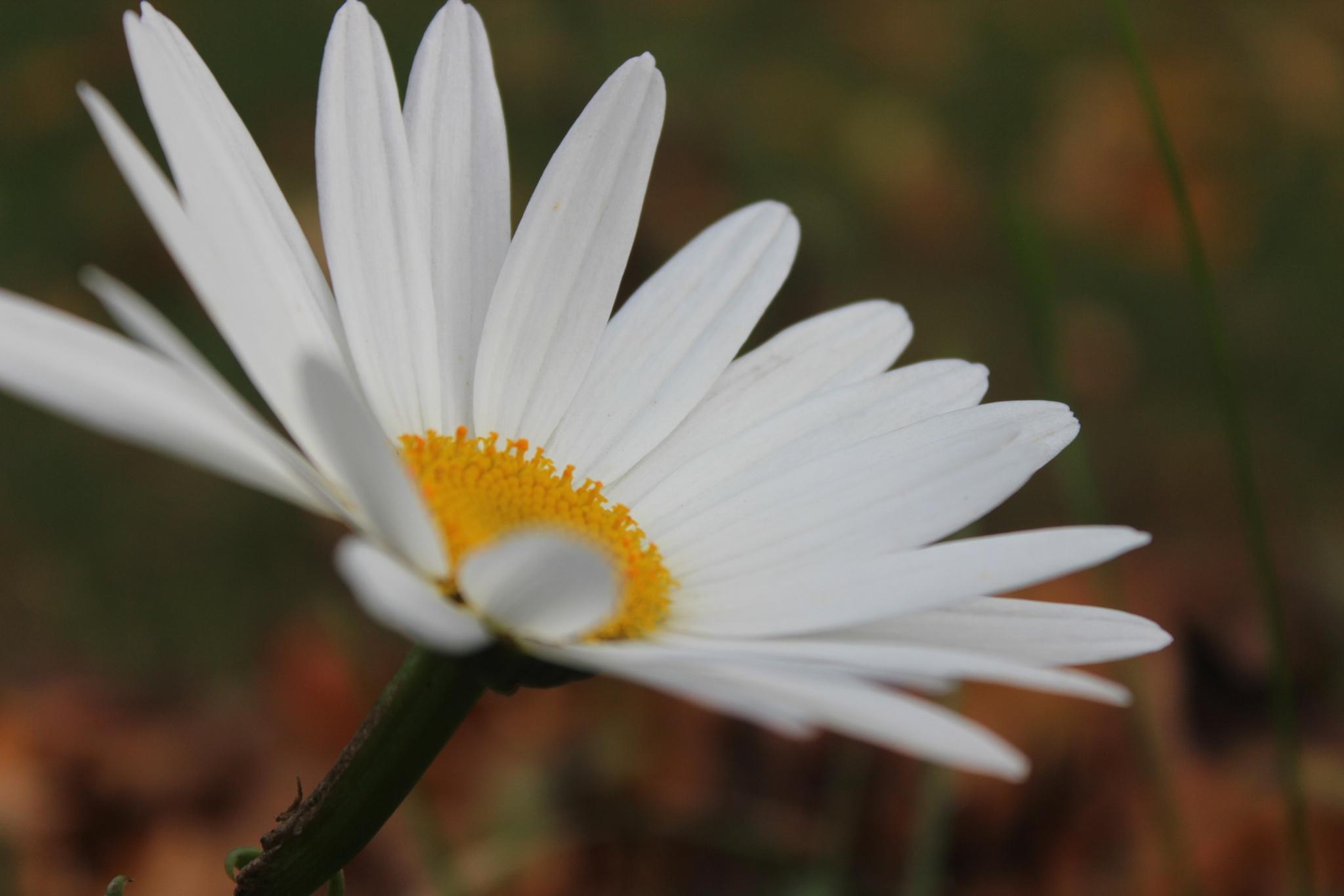 Daisy by Karen Harris