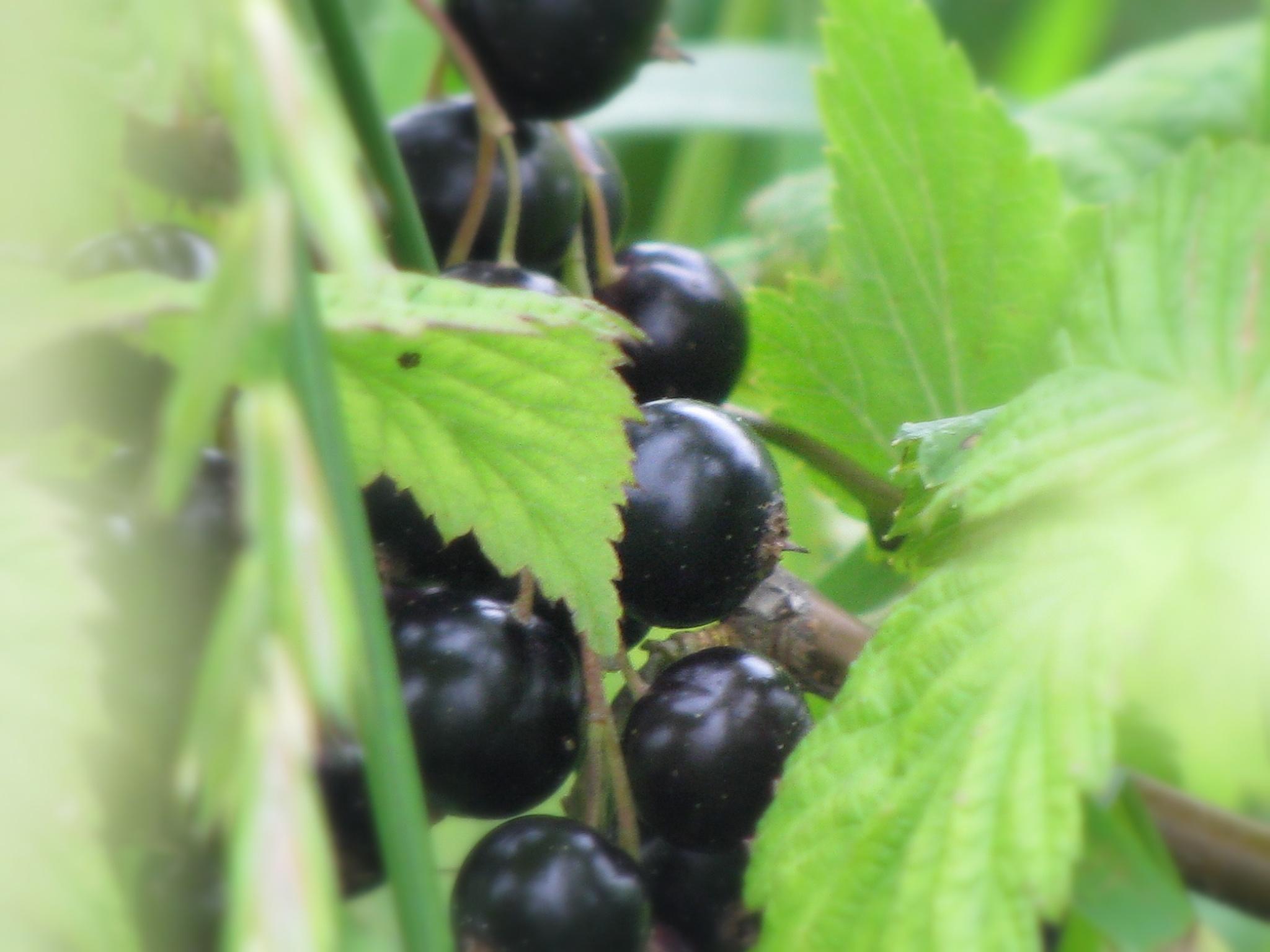 Berry. by Diāna Rušmane