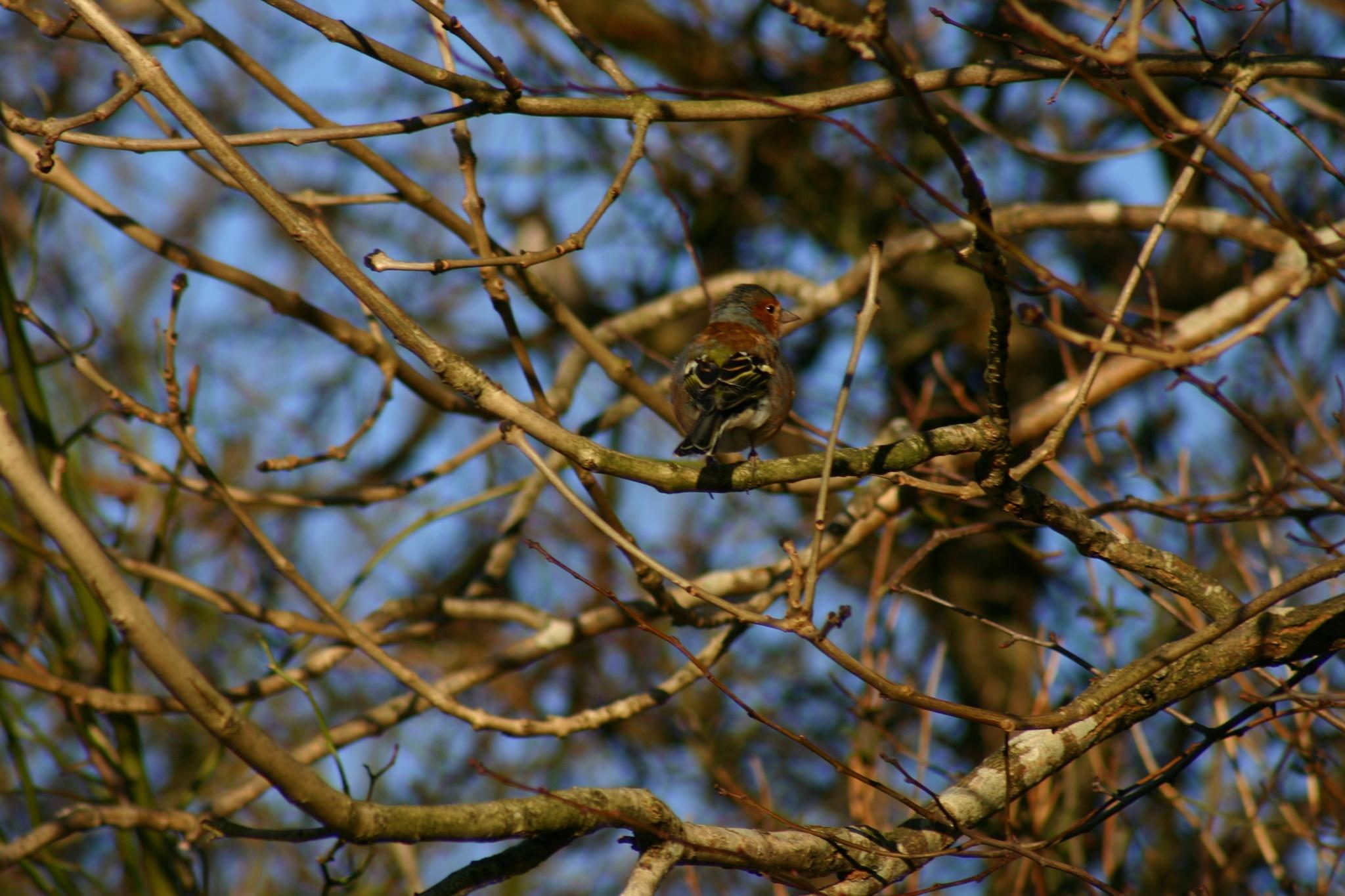 Chaffinch bird by MichaelTorkington