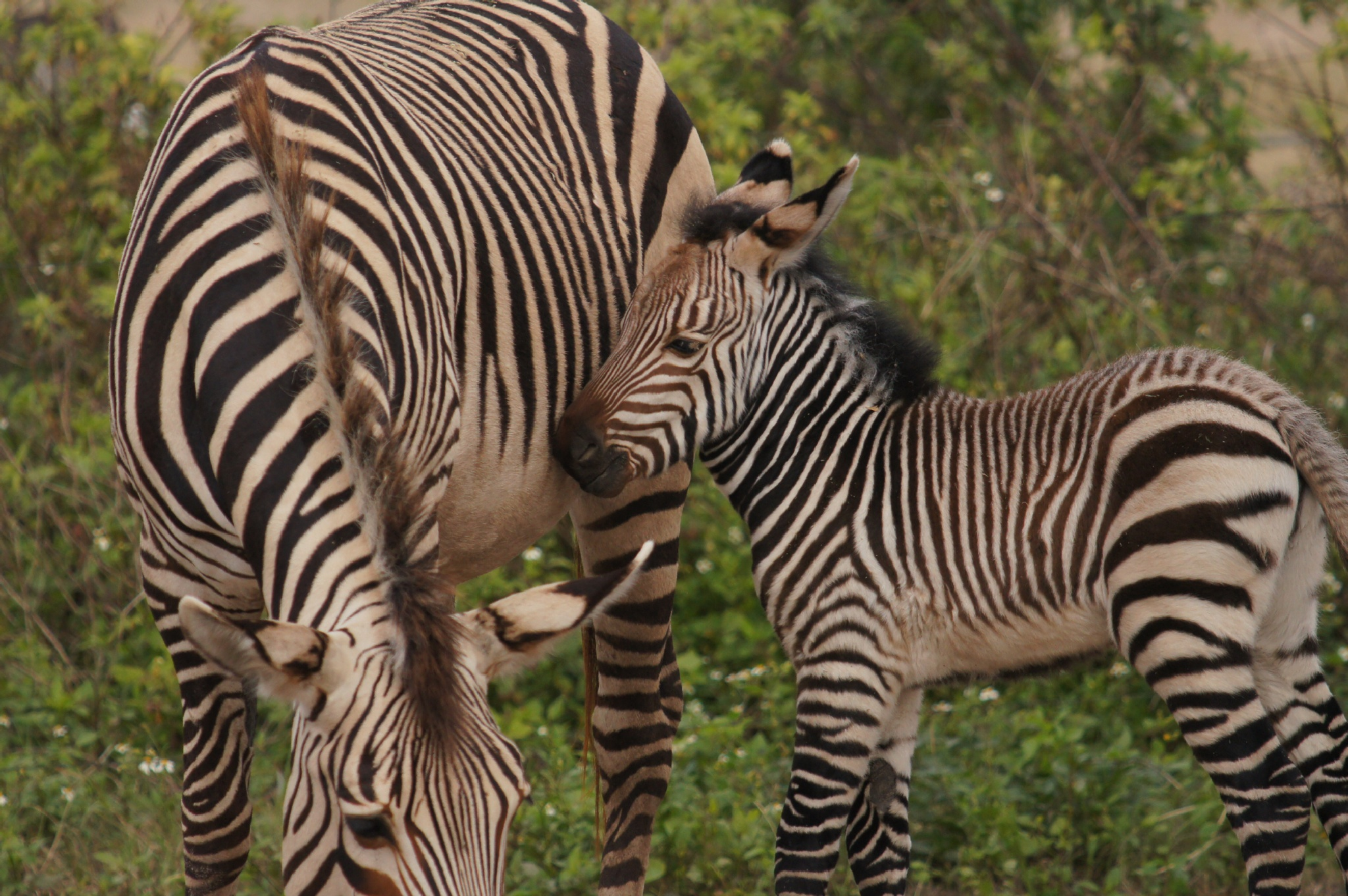 6 Day Old Zebra at Lowry Park Zoo  by Real_Images