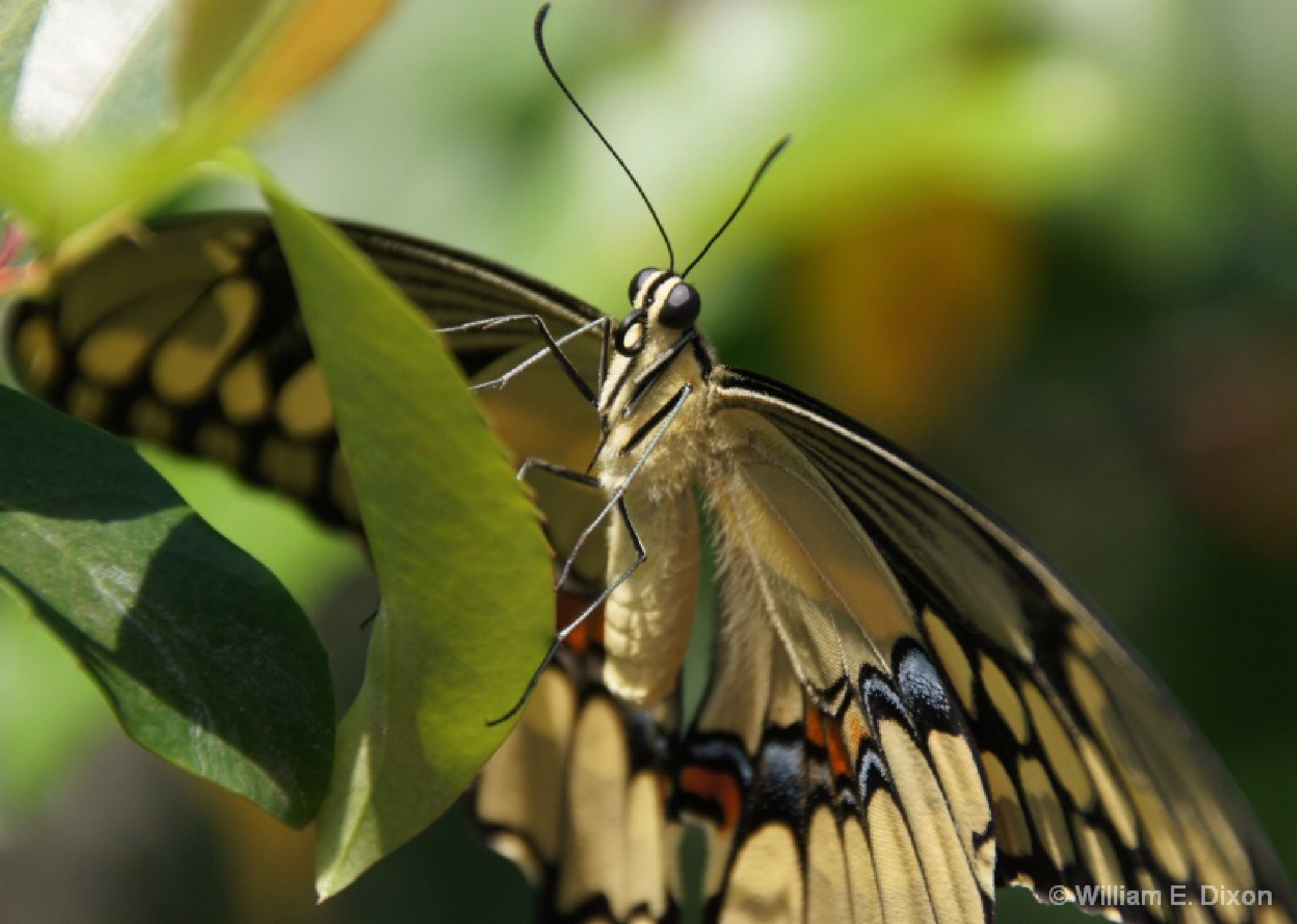 Giant Swallowtail Butterfly  by Real_Images