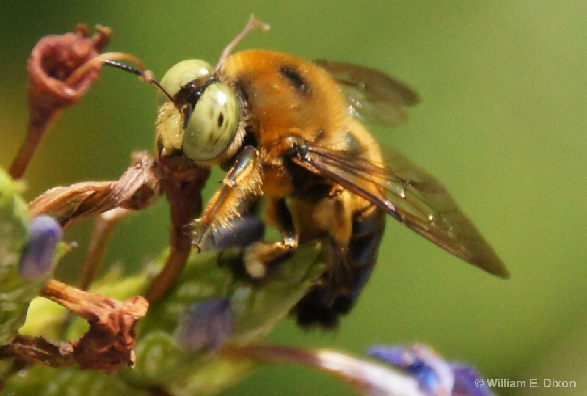 Close-Up of a Bumble bee  by Real_Images