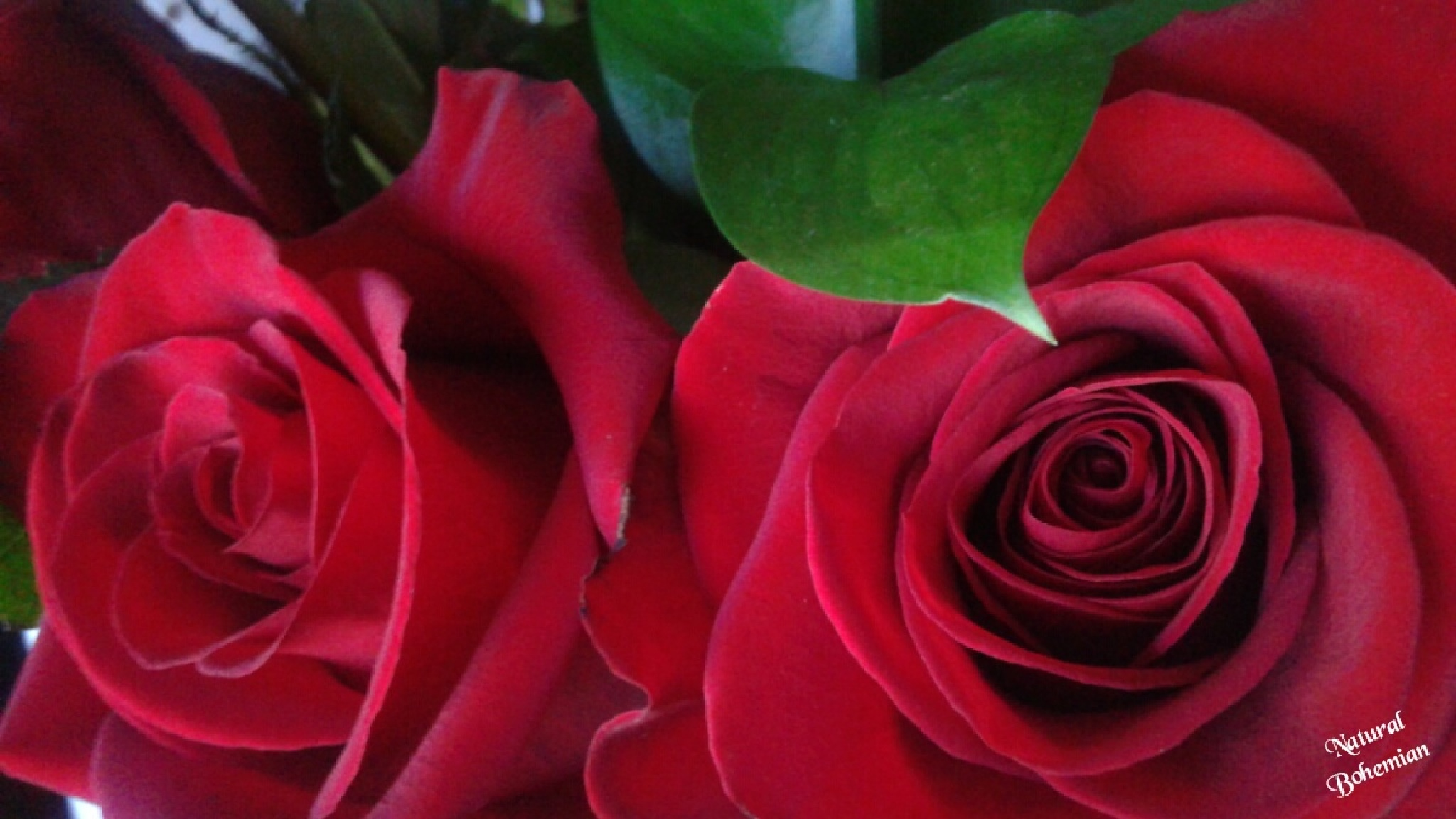 Red roses by Natural Bohemian photography