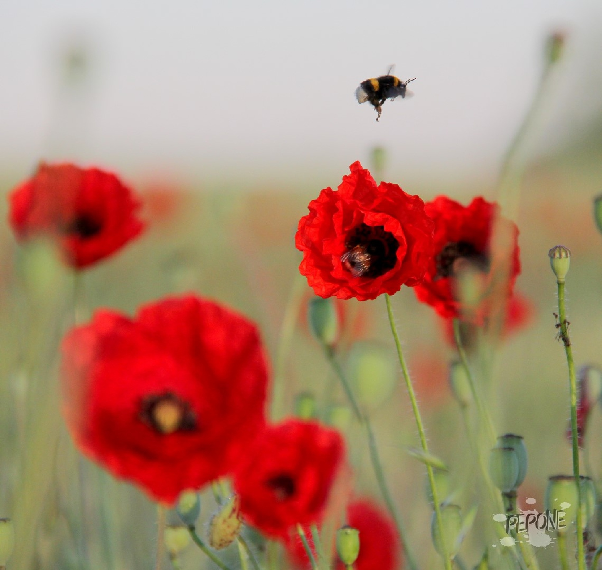 Coquelicot  by Pepone1307