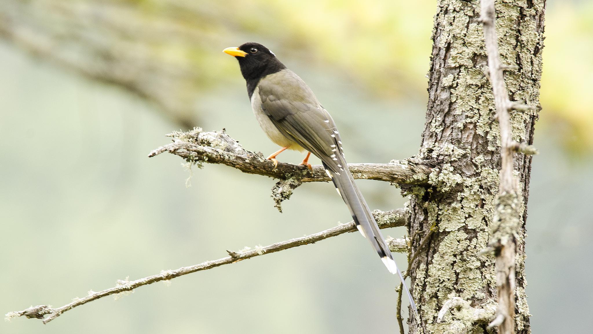 Photo in Nature #magpie #yellow #billed #bhutan #bird