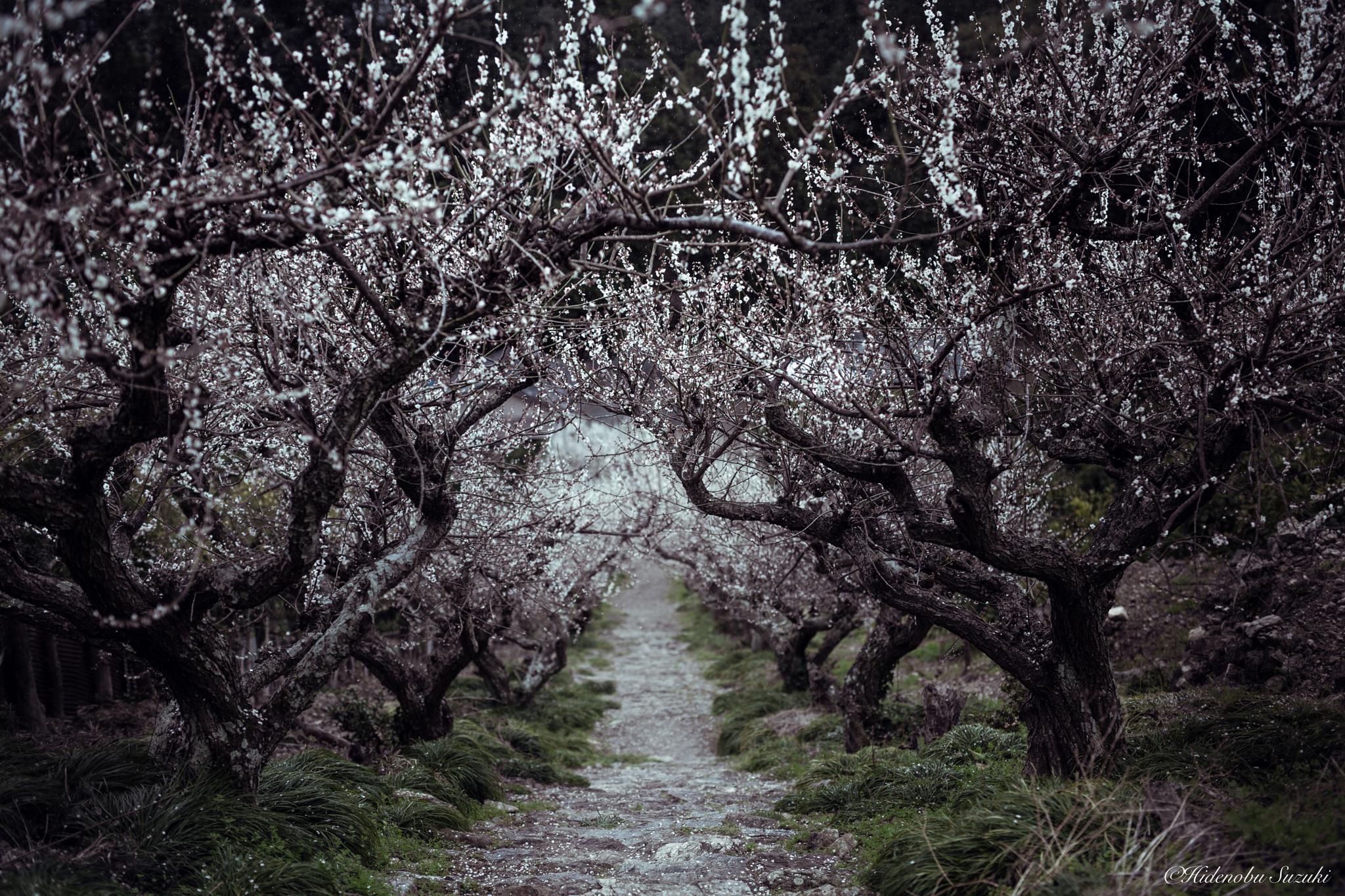 Plum blossom by hidenobu_suzuki