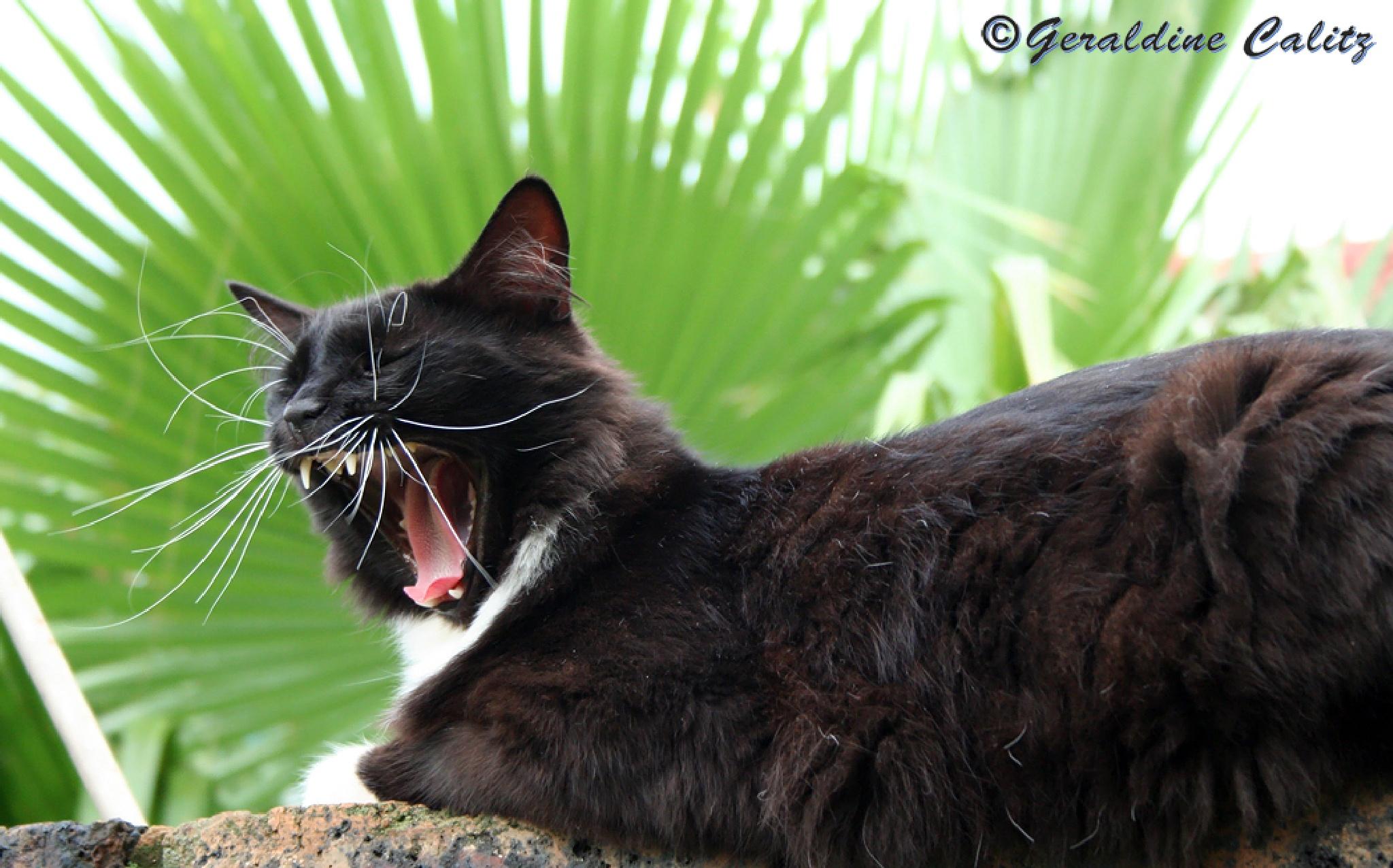 Photo in Animal #cat #cat yawning