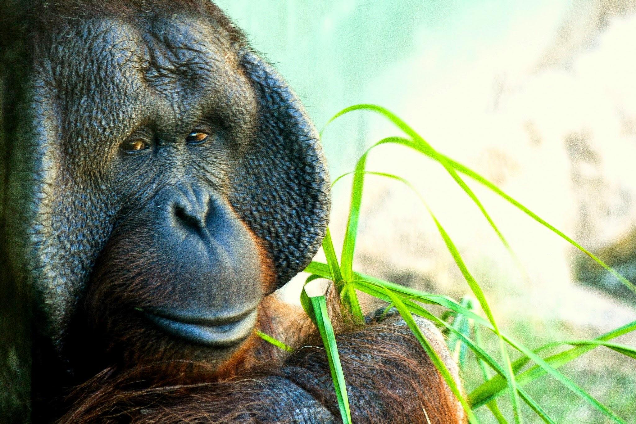 Photo in Animal #bornean #orangutan #phoenix #zoo #primate