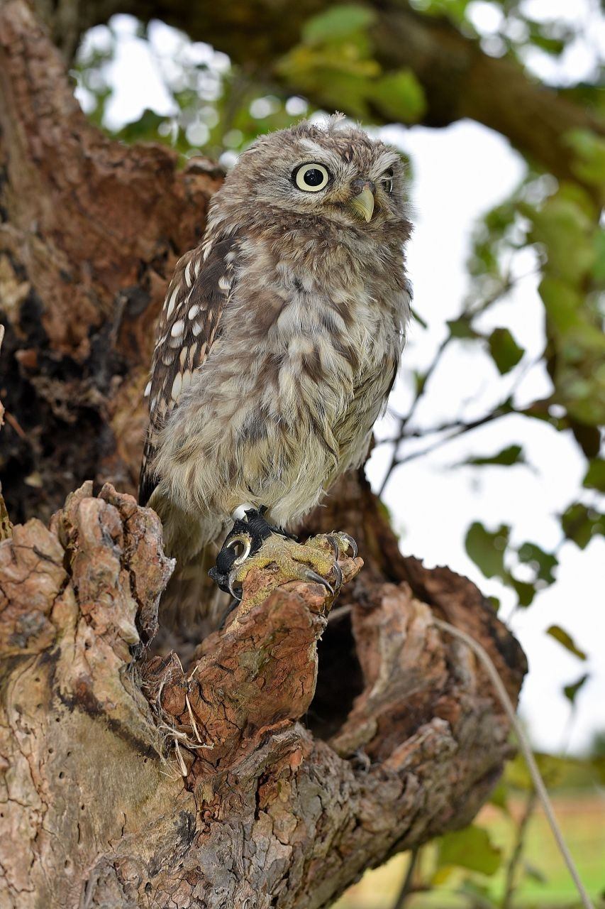 Little Owl by coolcats