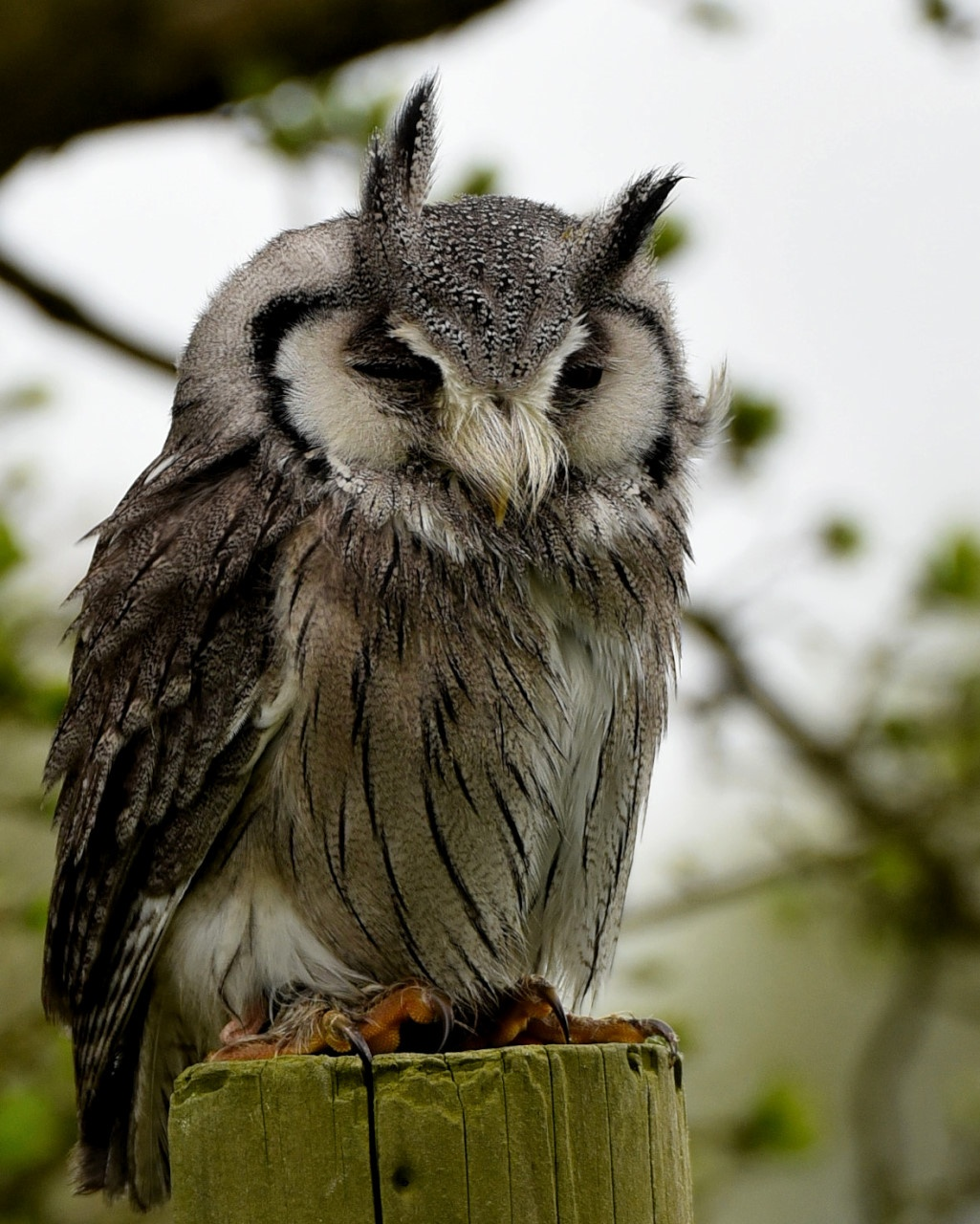 White-Faced Scops Owl  by coolcats