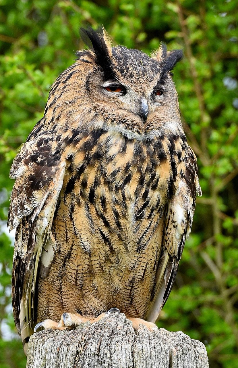 Eurasian Eagle Owl by coolcats