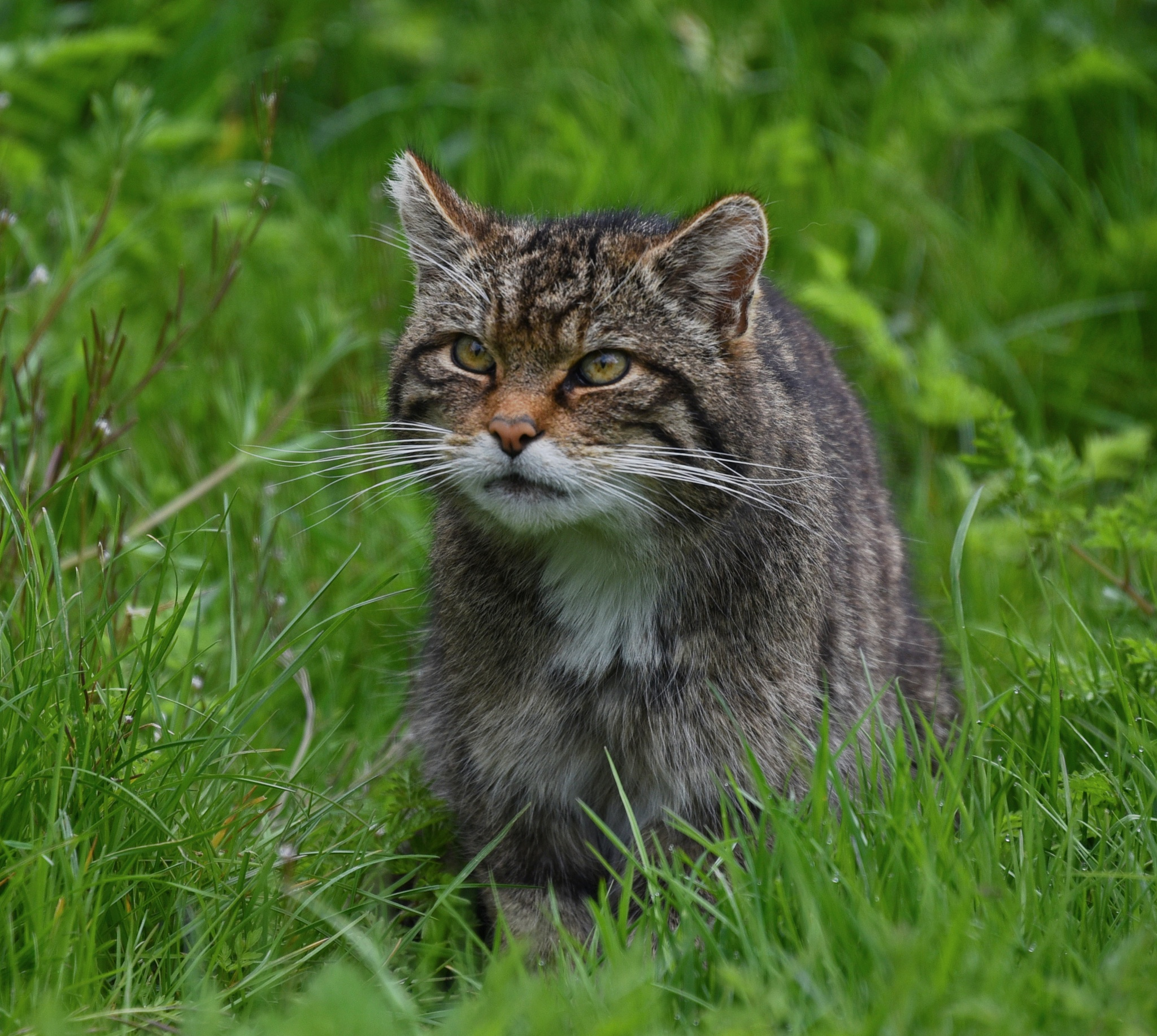 Scottish Wildcat by coolcats