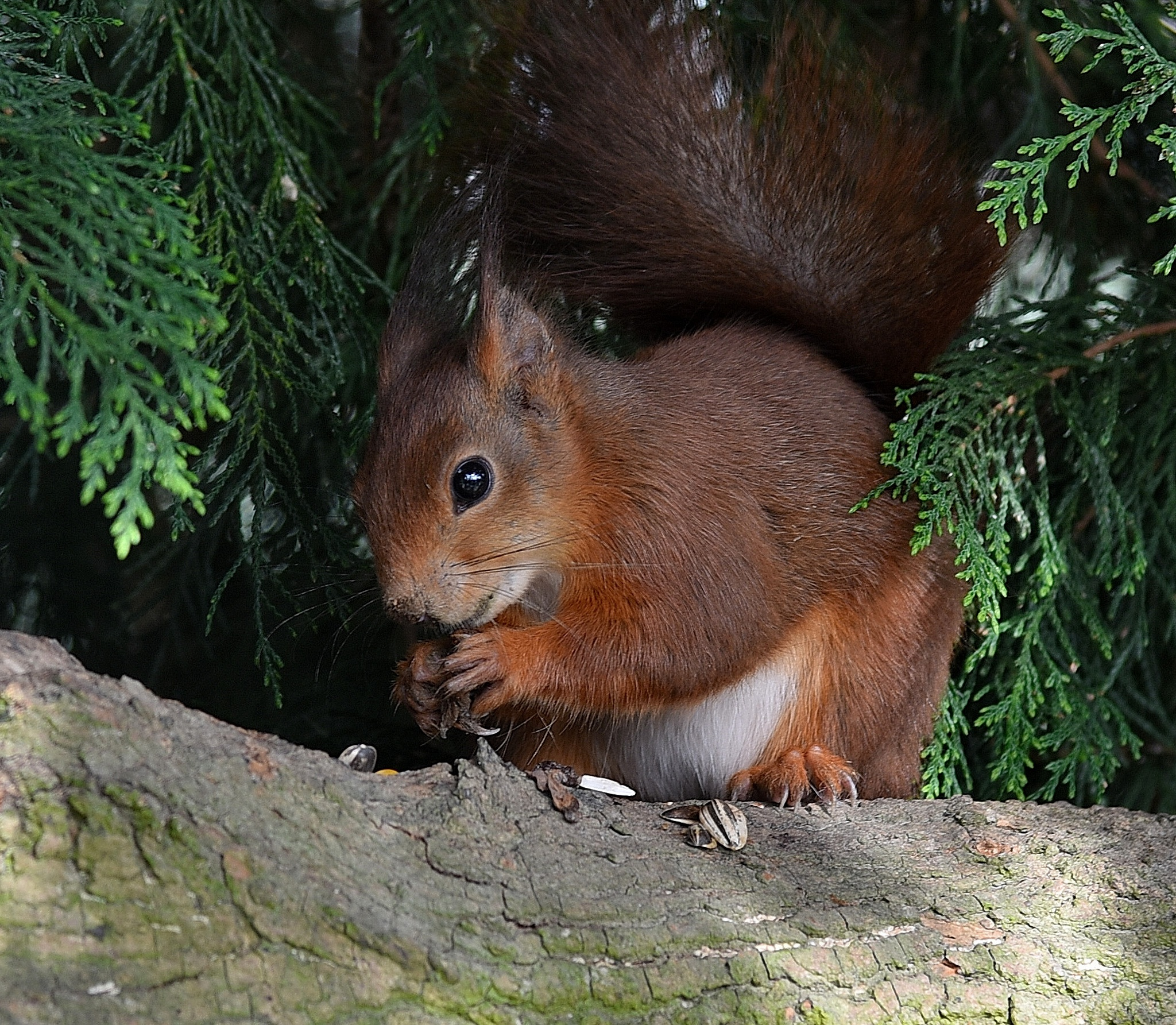 Red Squirrel by coolcats