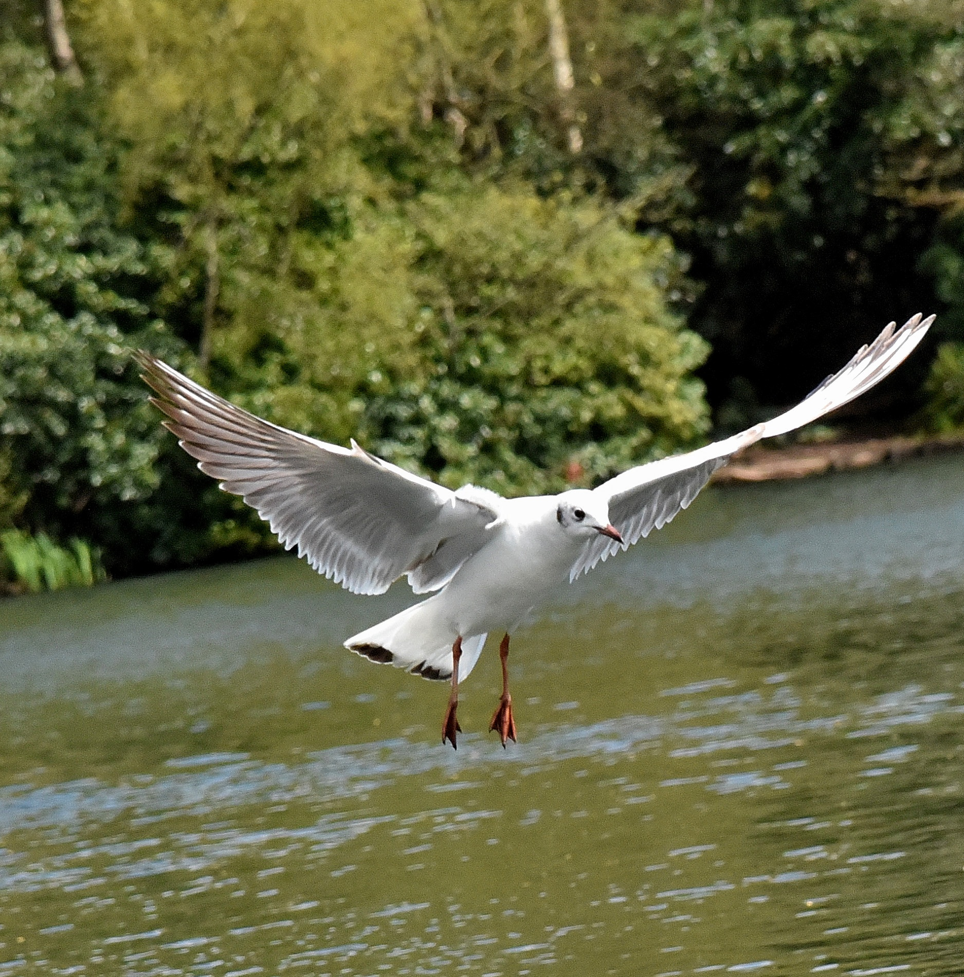 Black-headed Gull -  adult in non-breeding plumage by coolcats