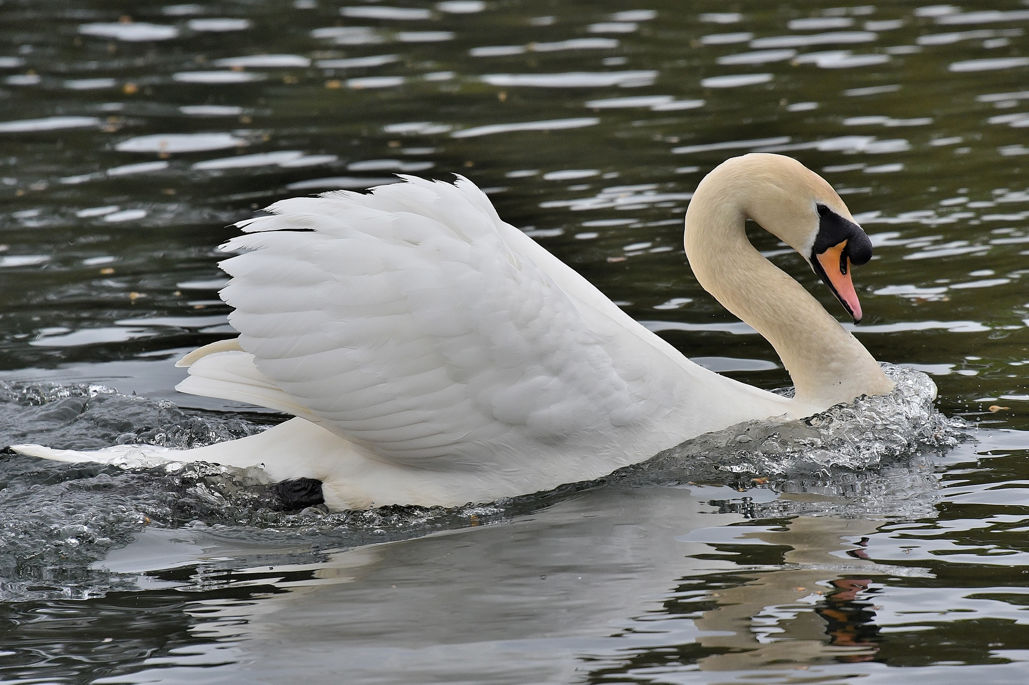 Mute Swan by coolcats