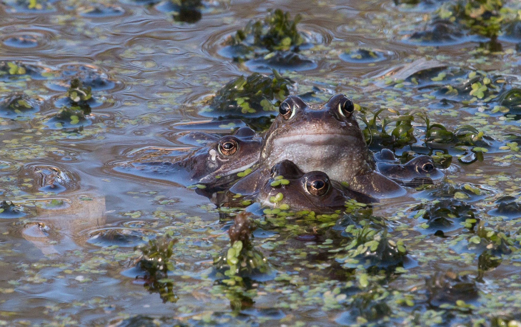Frog Orgy by Chris Wood