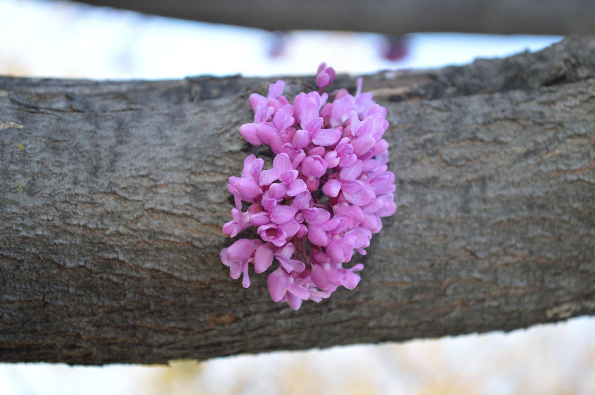 redbud tree by Milenslife