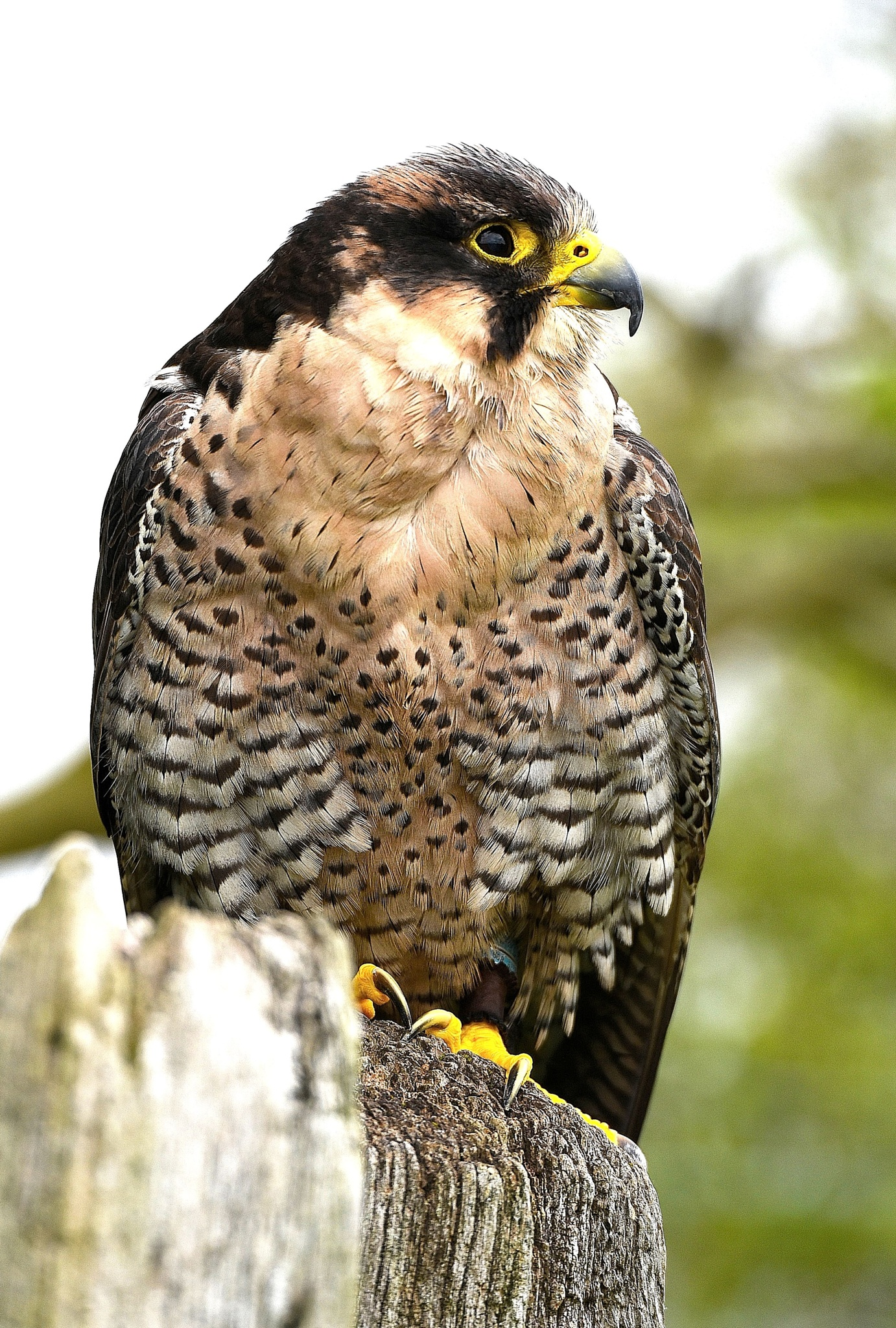 Photo in Nature #bird of prey #owls #falcon #egales
