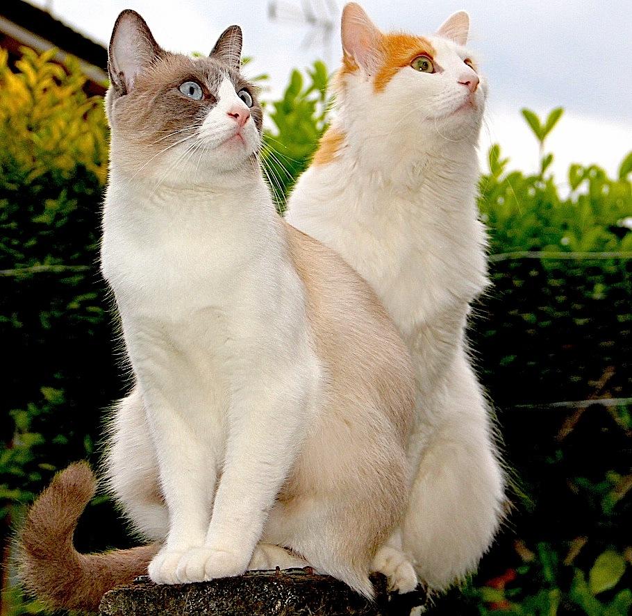 Denali a Snowshoe & Kaha a Turkish Van Cat. by John Cater