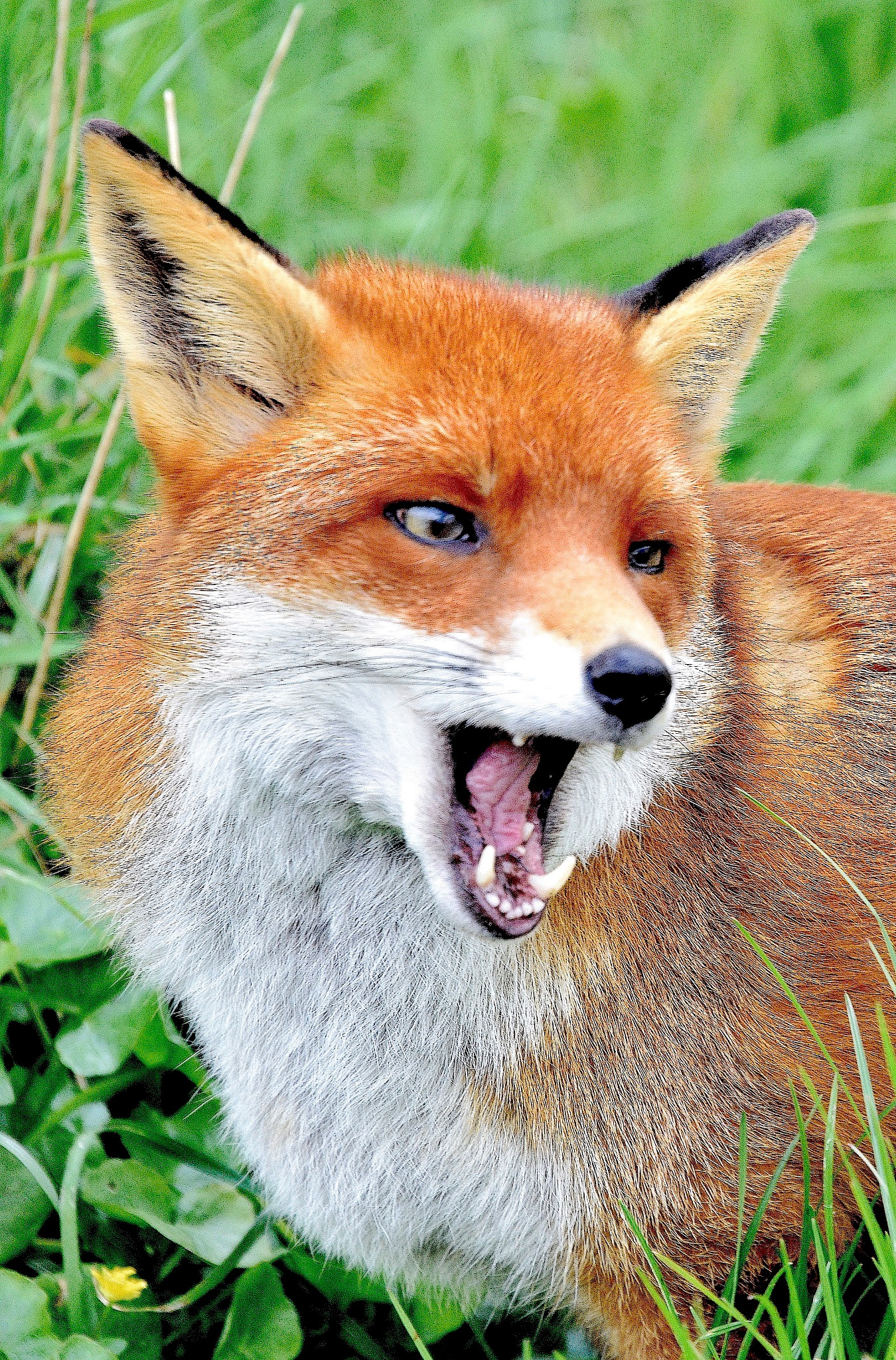 Foxy. by John Cater