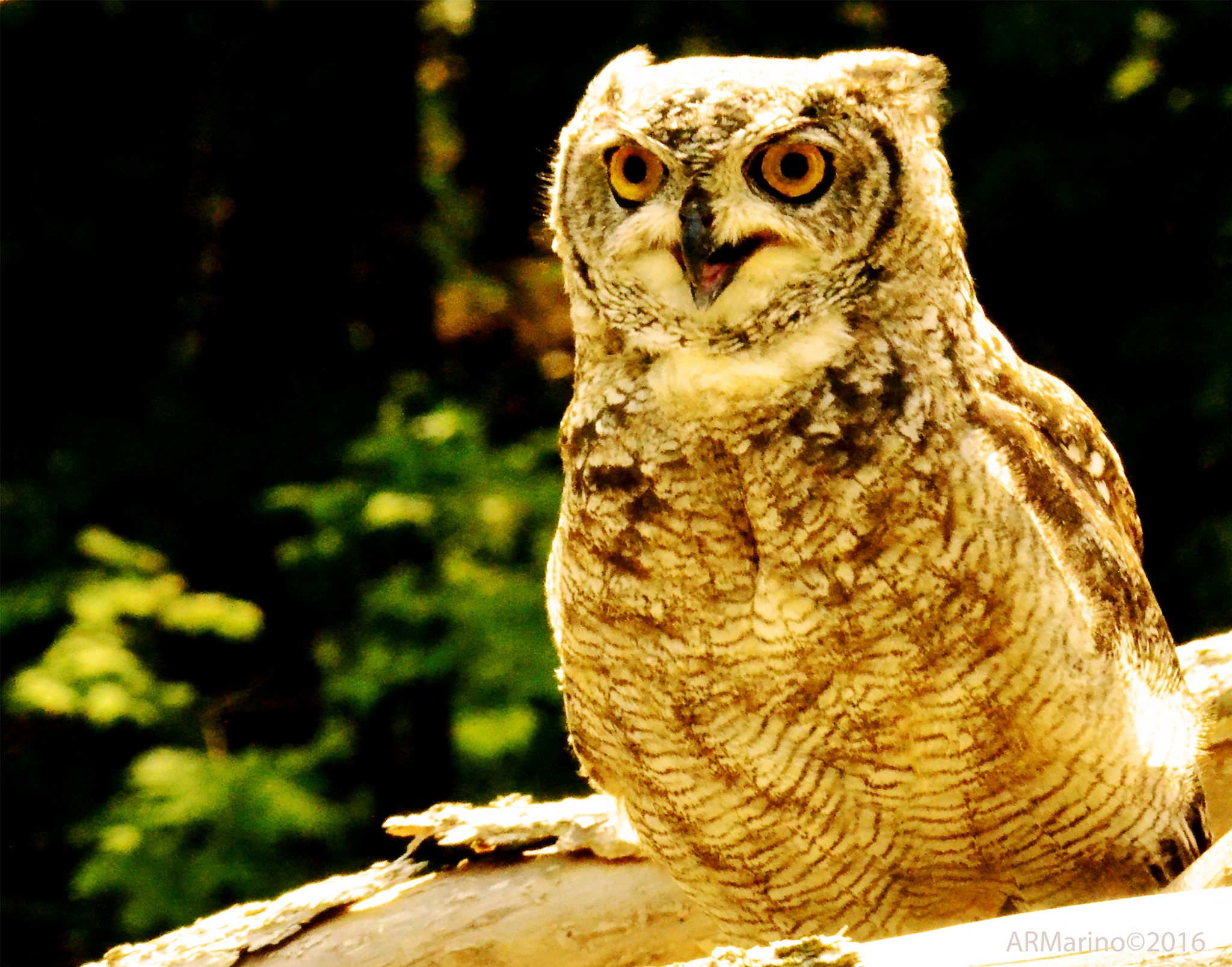 Owl202 by A R Marino