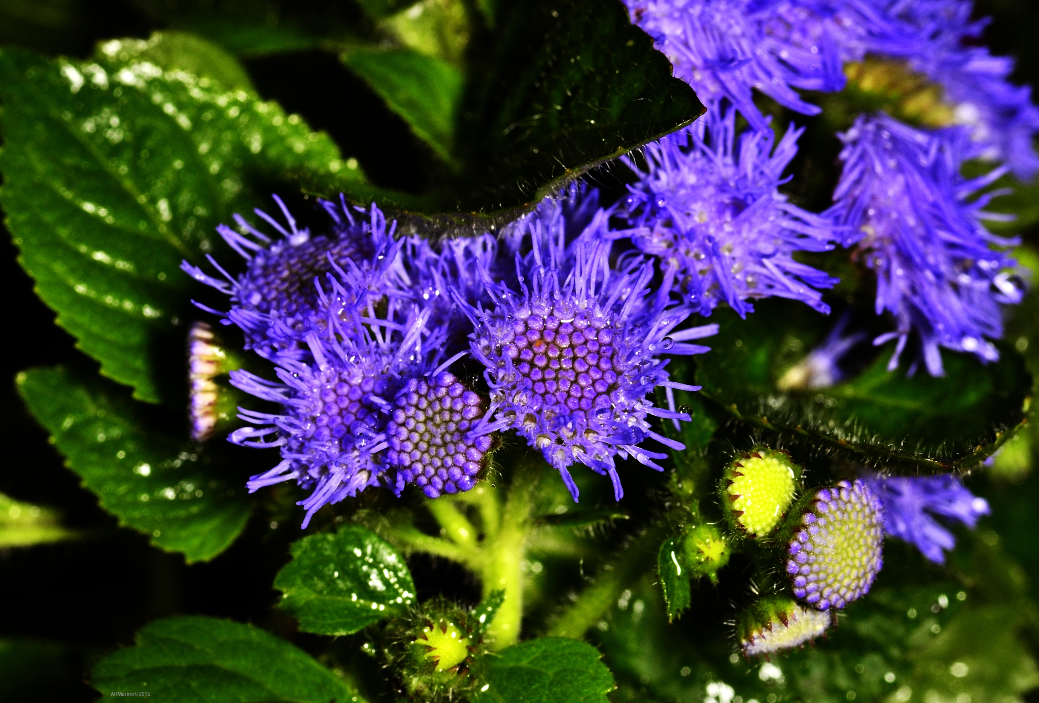 Unknown Purple Flowers by A R Marino