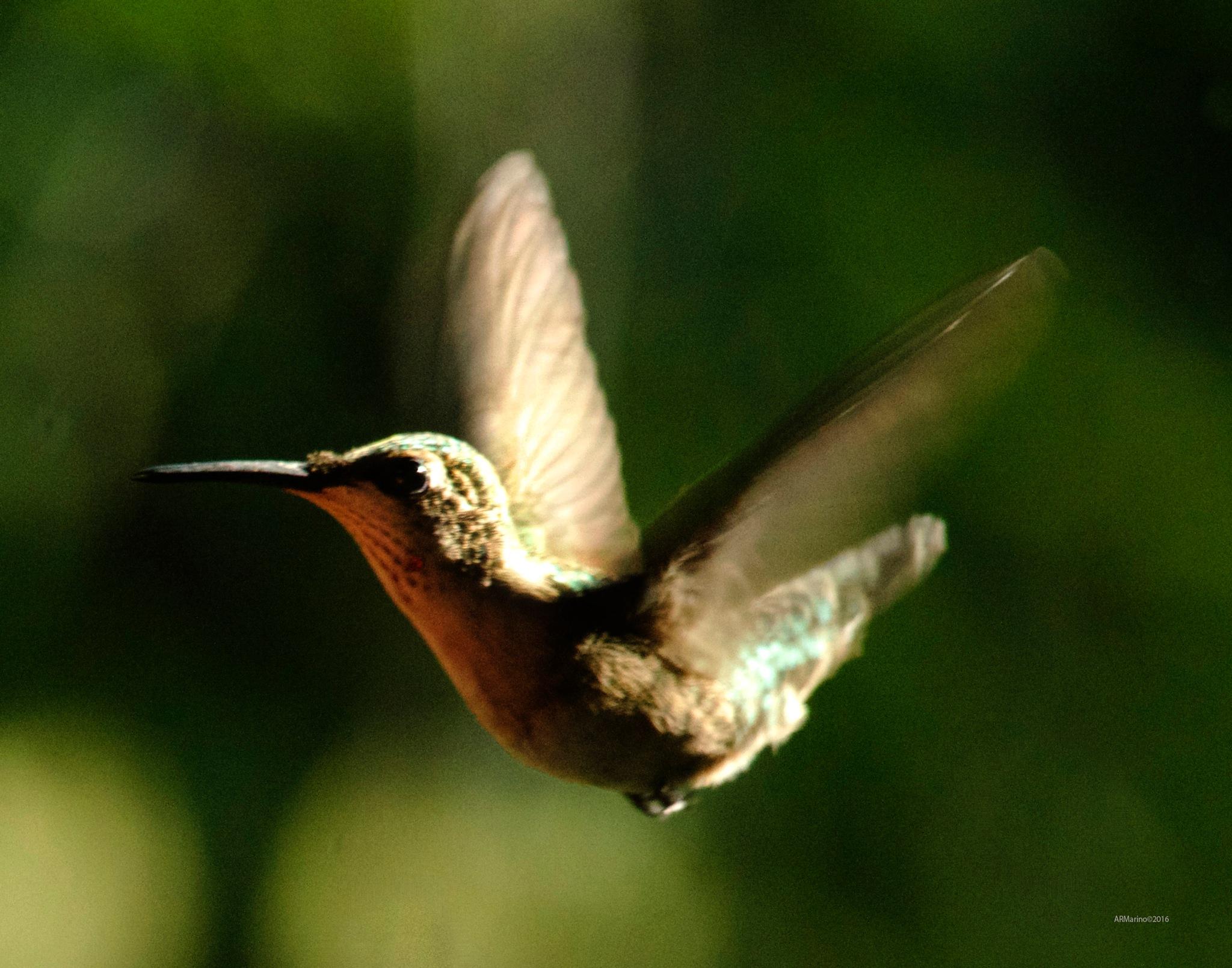 Hummingbird by A R Marino