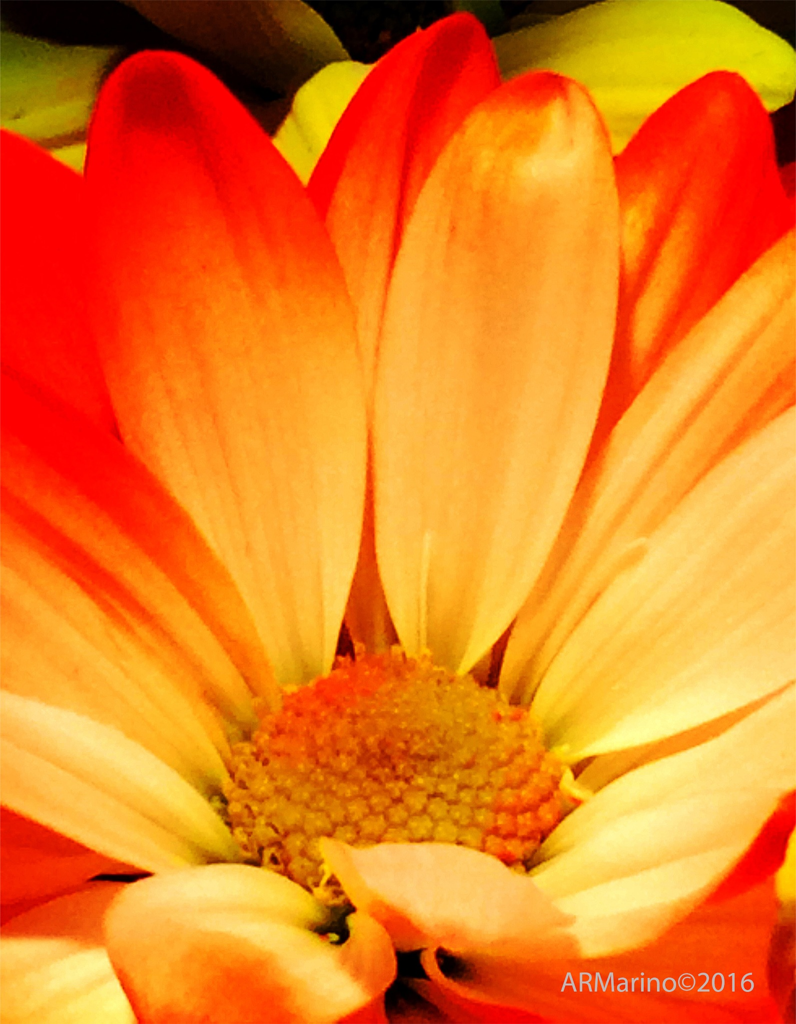 Daisy by A R Marino