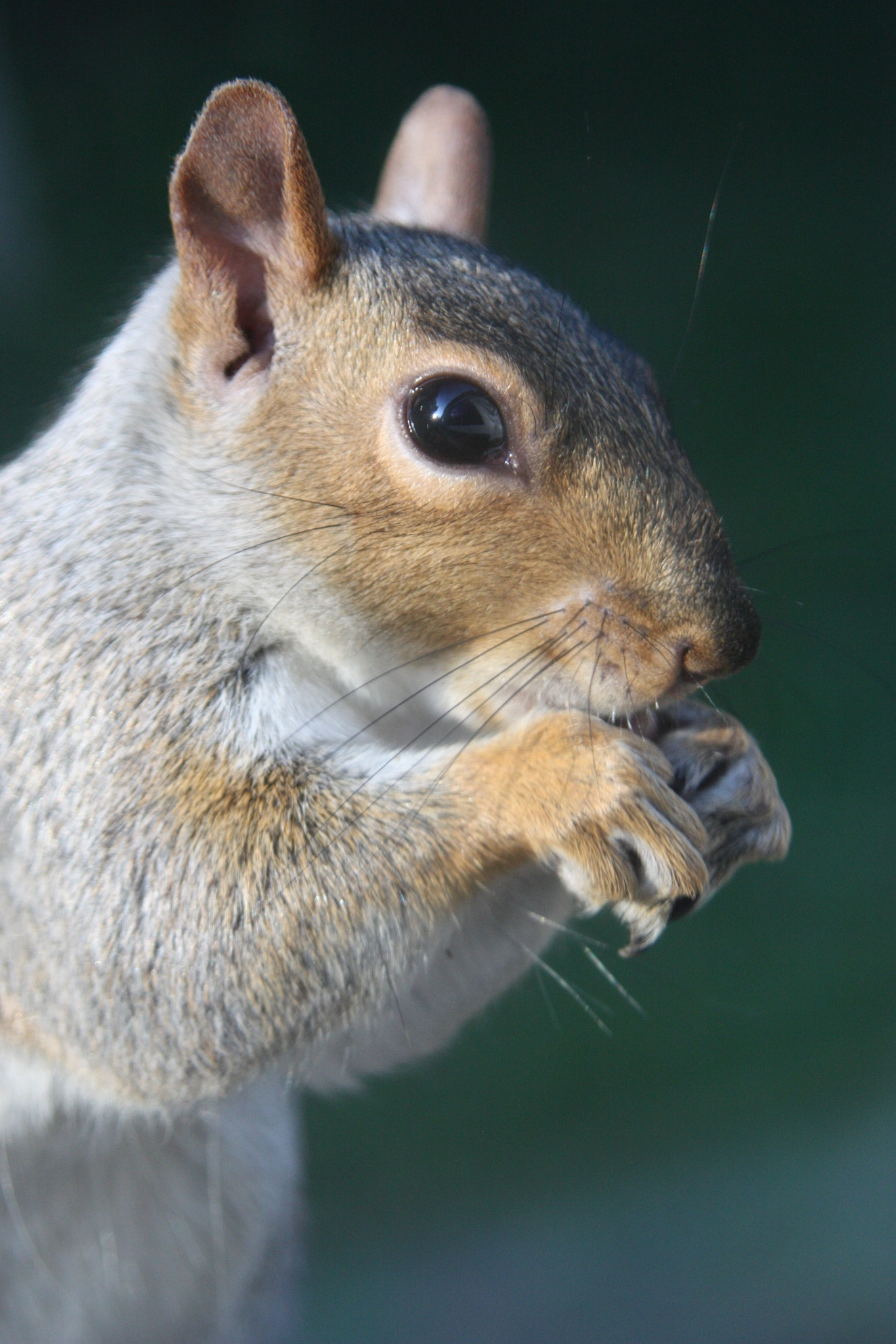 squirrel  by Mark Evers
