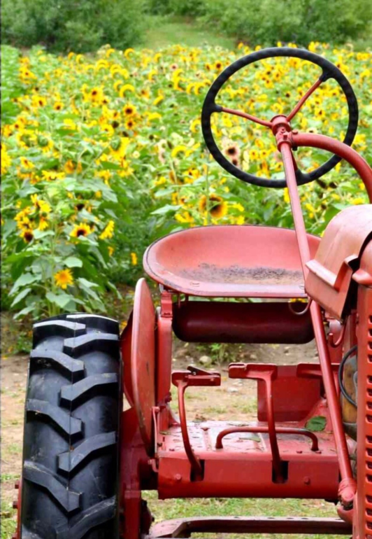 Tractor in front field of sunflowers by Tracey Colon