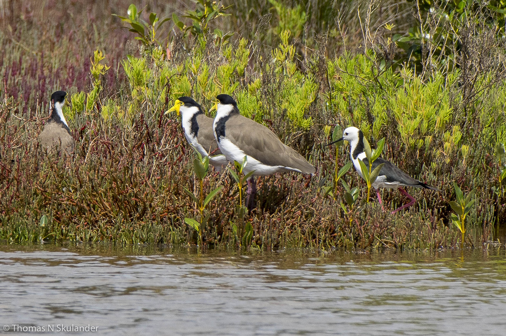 Australian Hooded Lapwing and Banded Stilt by Thomas Skulander