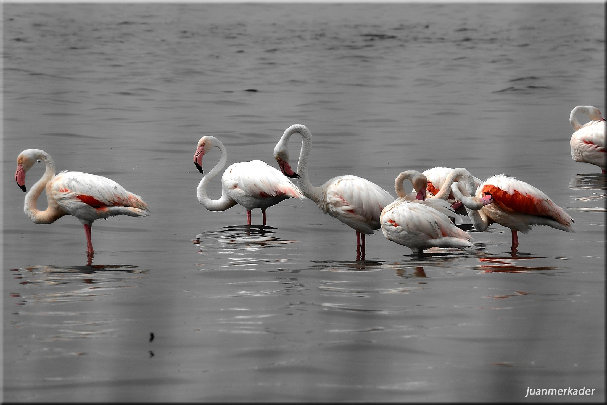 Pink Flamingos by JuanMercader