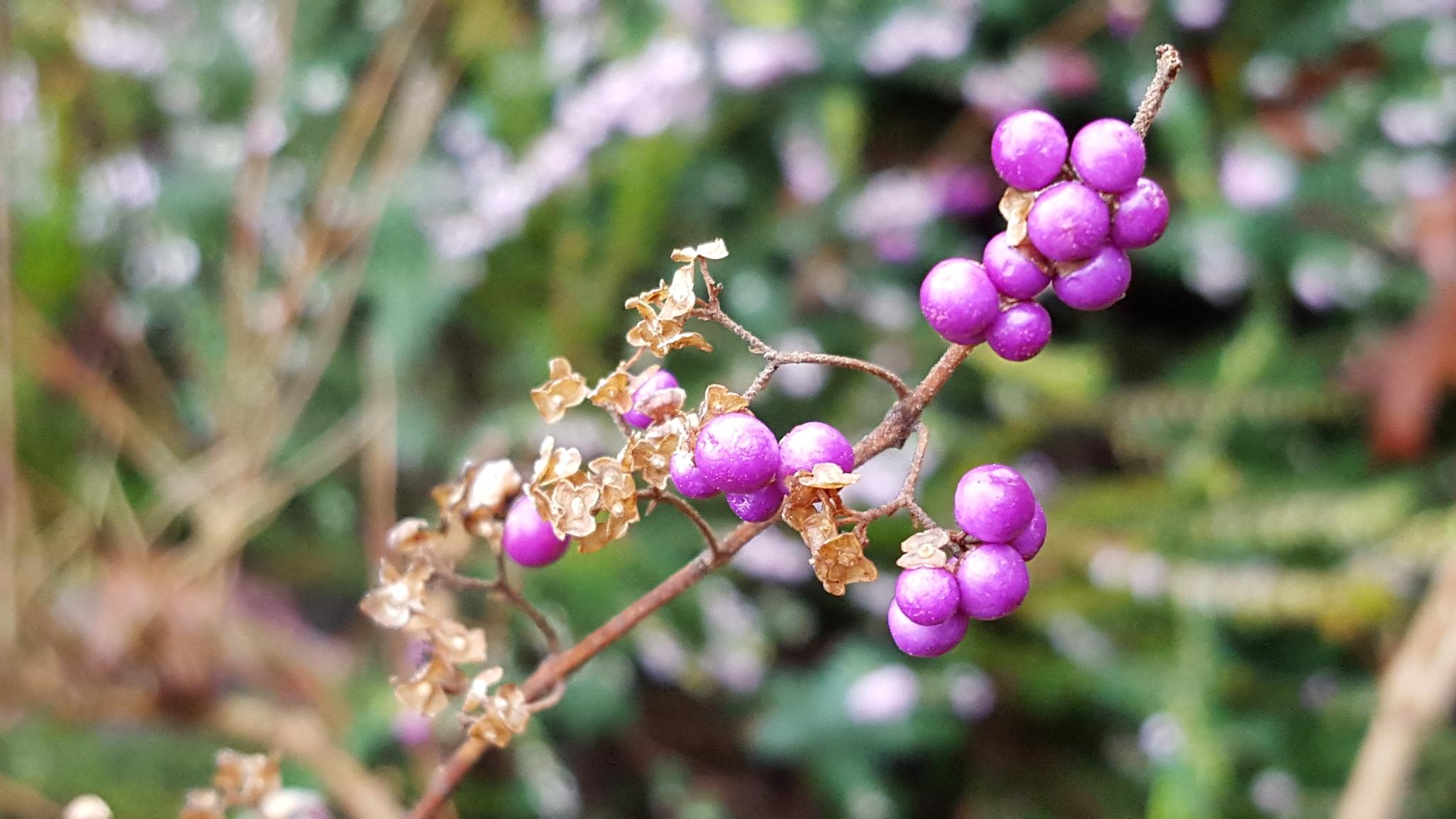 Berries Calling by Des Jardins