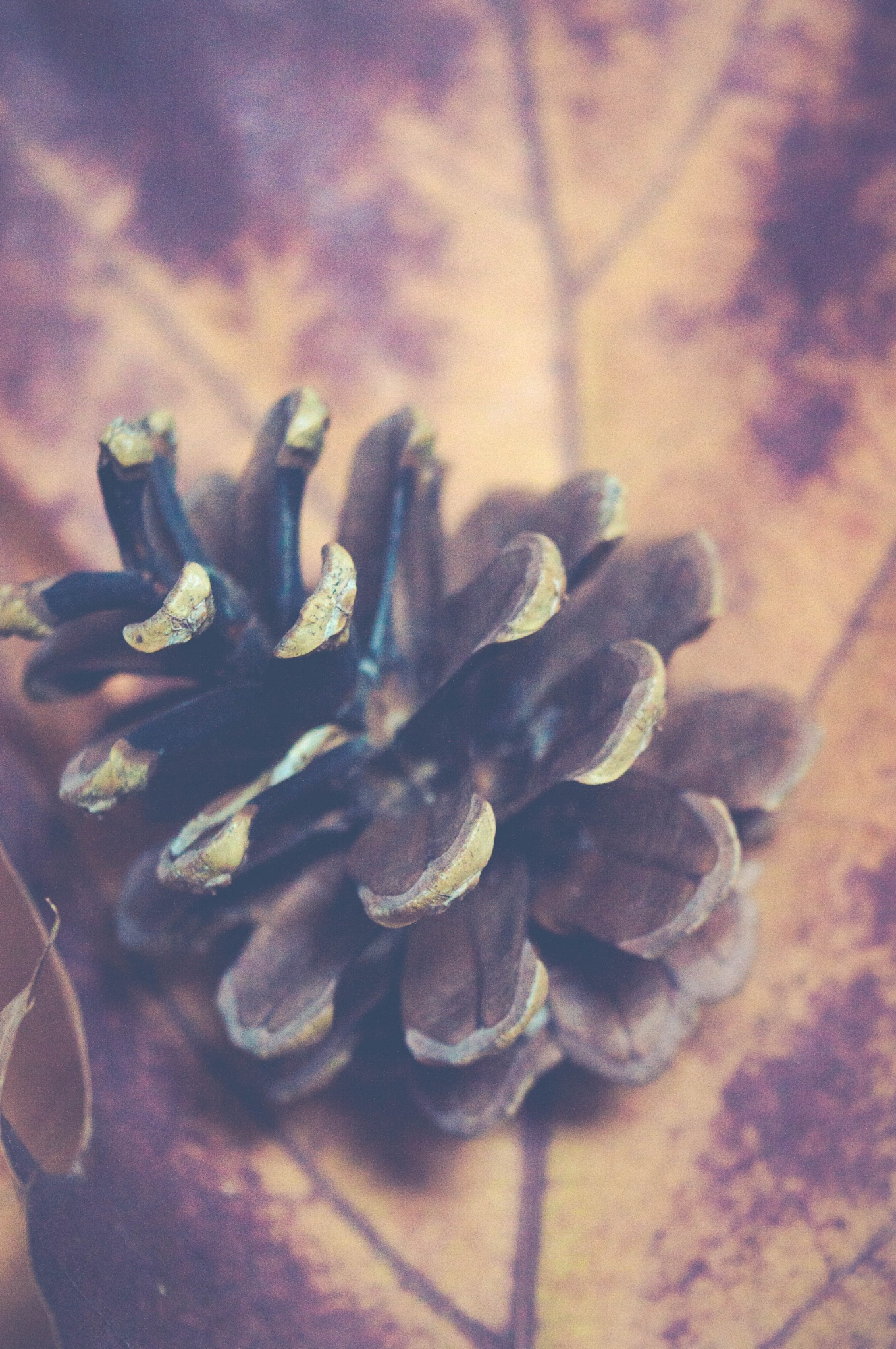 Autumn season - Pine cone on a dry red maple leaf, vintage style by Hristina Hristova