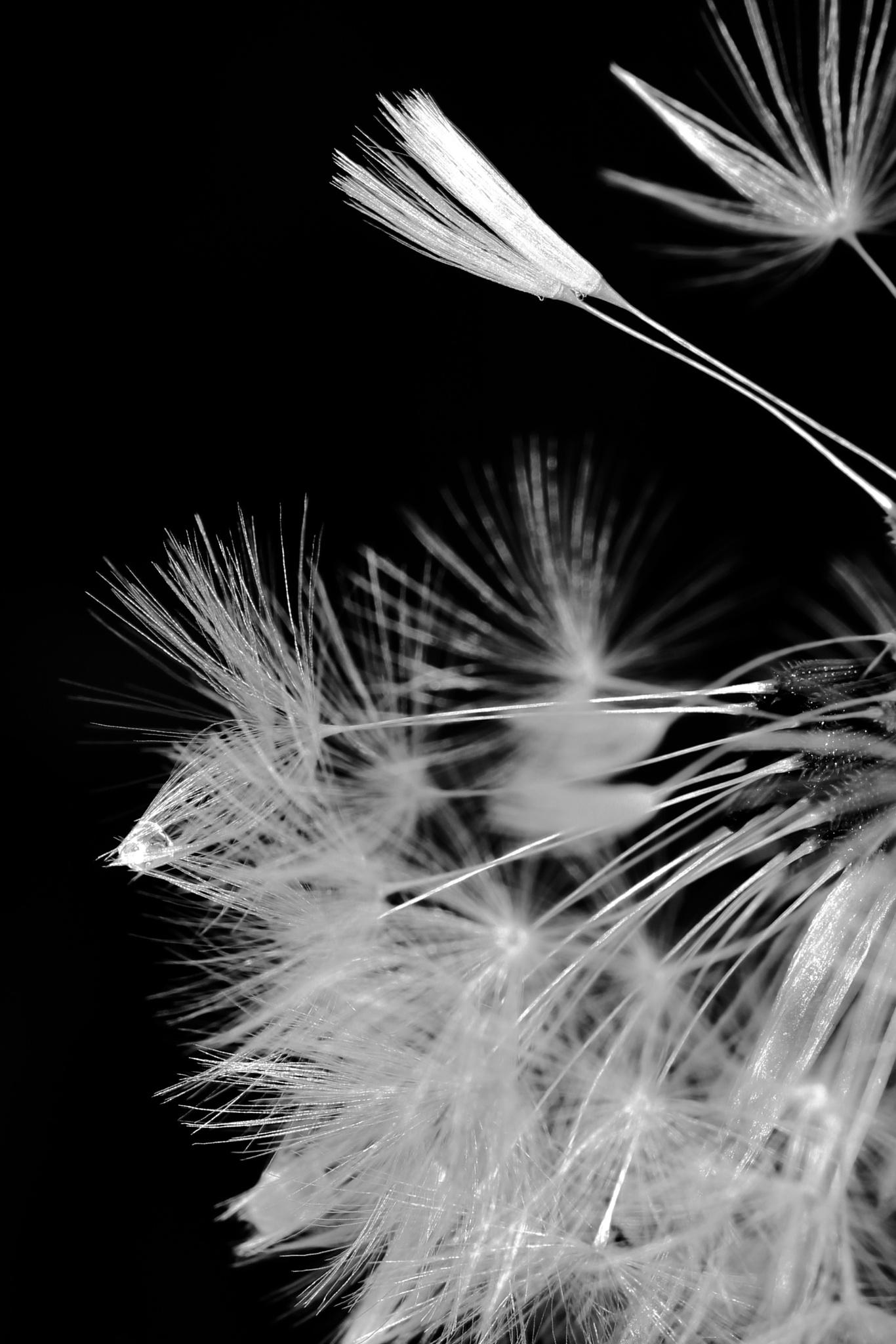 B/W dandelion by Gullanabban