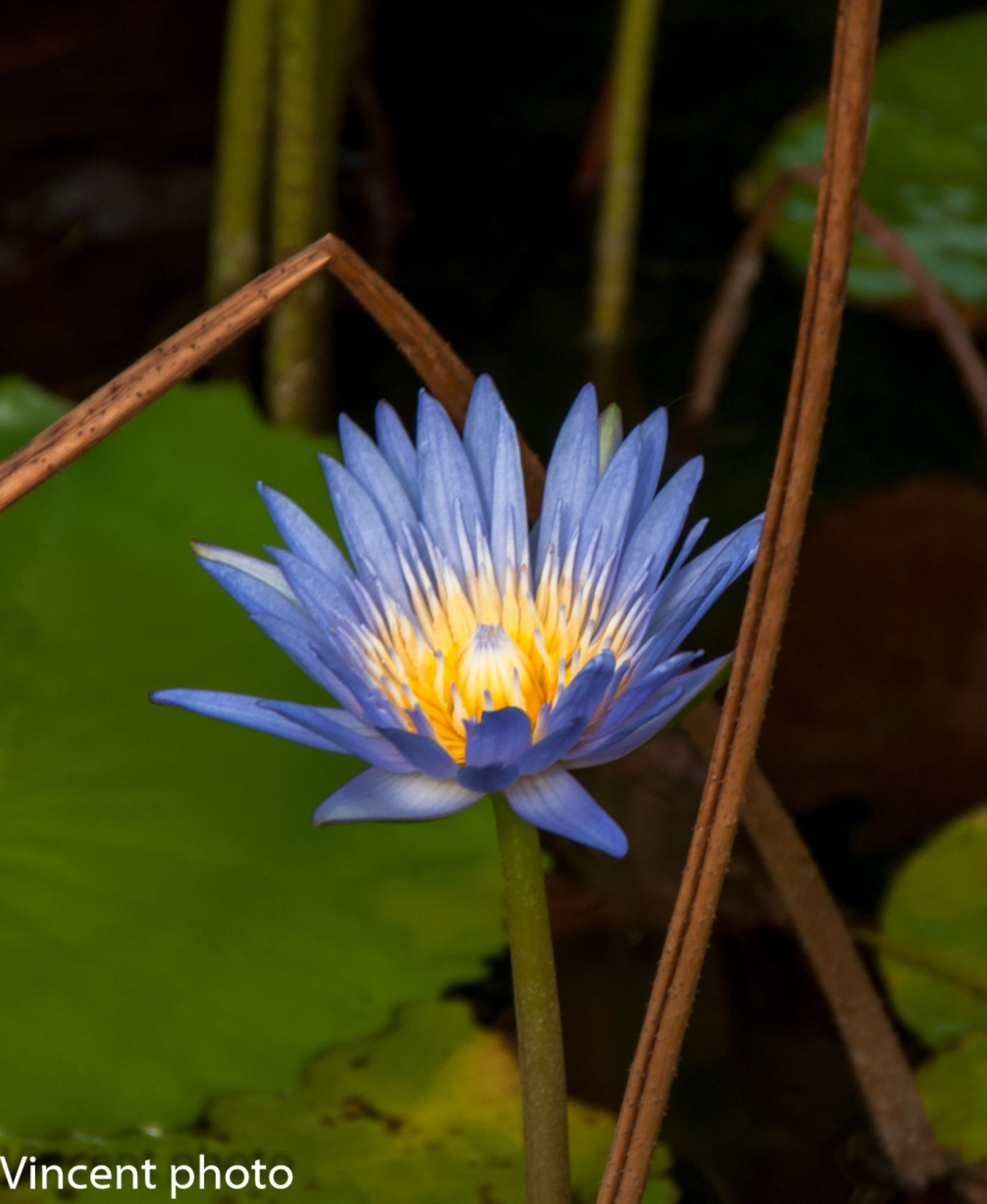 water lily by vincentkfyan