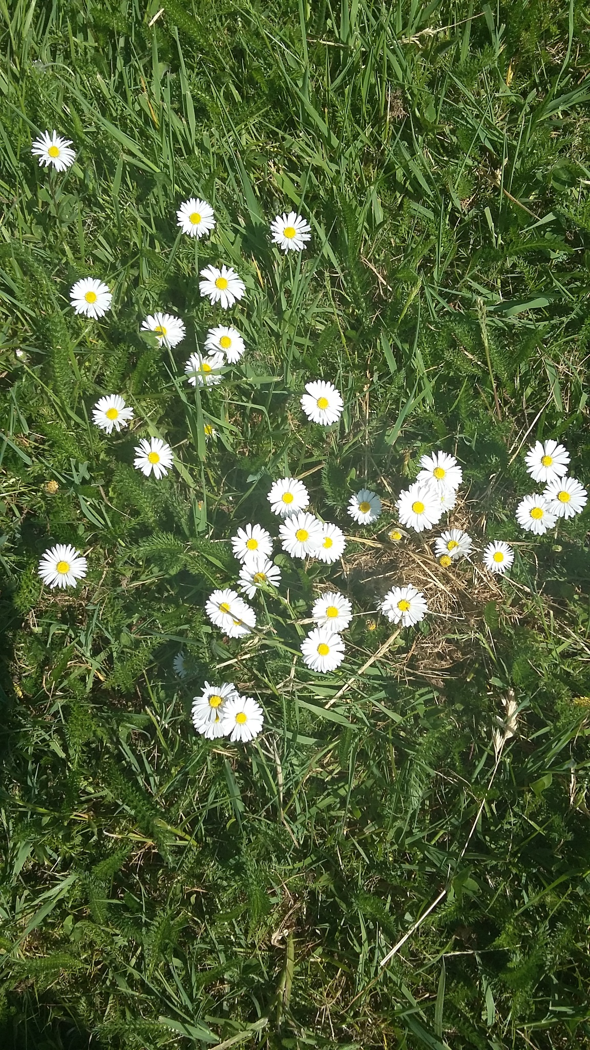 pretty daisy  by Catherinecaughtcreations