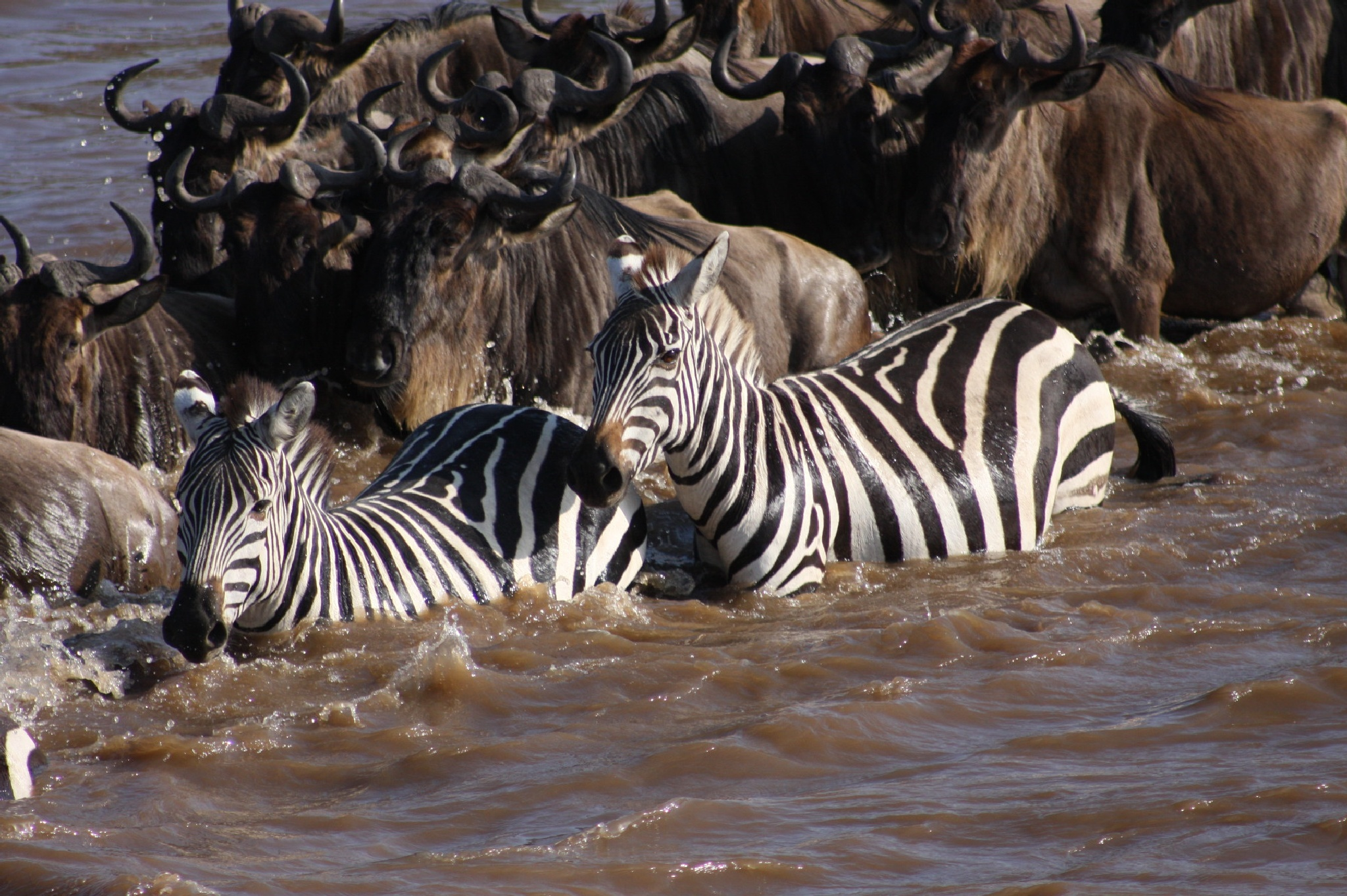 Water Crossing Zebras by Roger Sims
