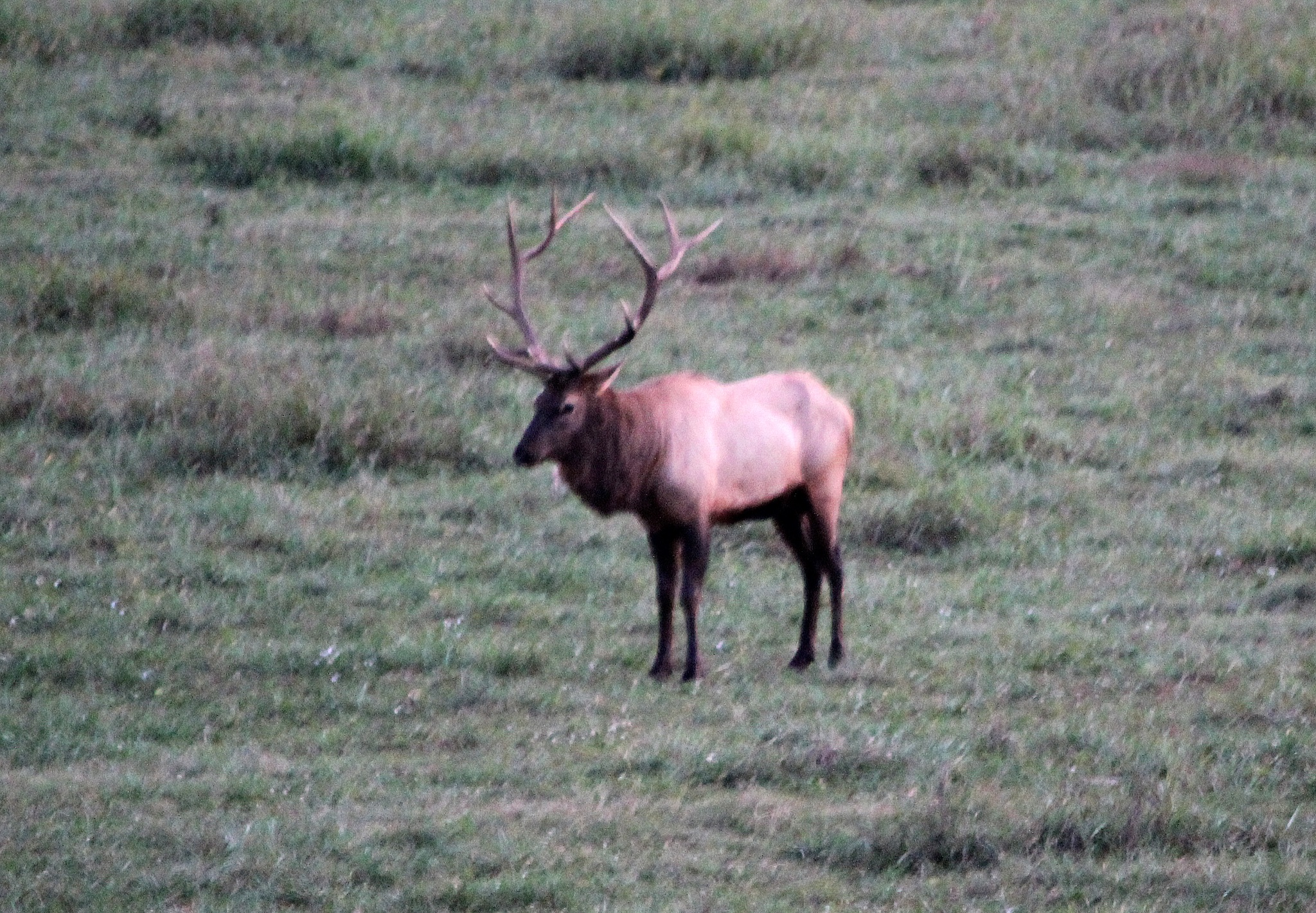 Pretty Boy Elk Bull by Roger Sims