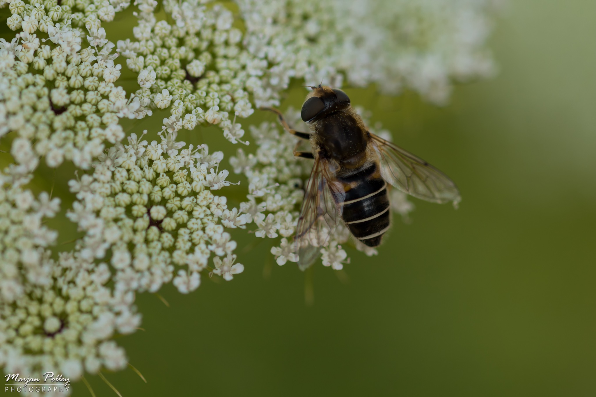 Bee by  Marjan Polley Photography