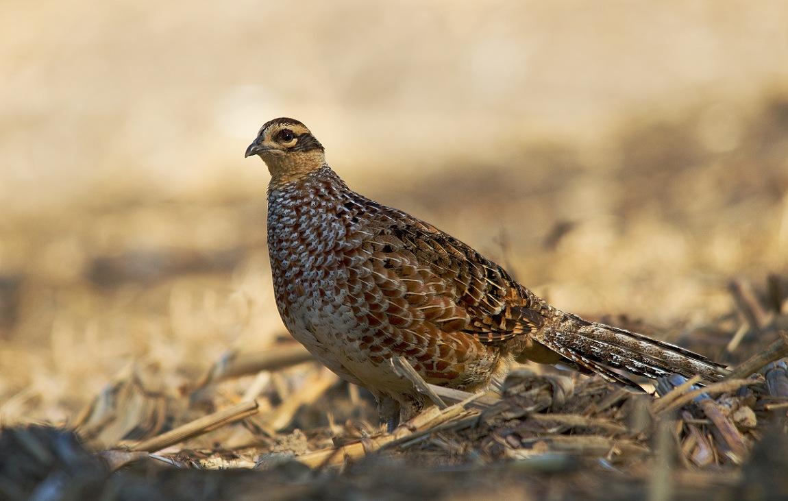 royal pheasant-female by Thum