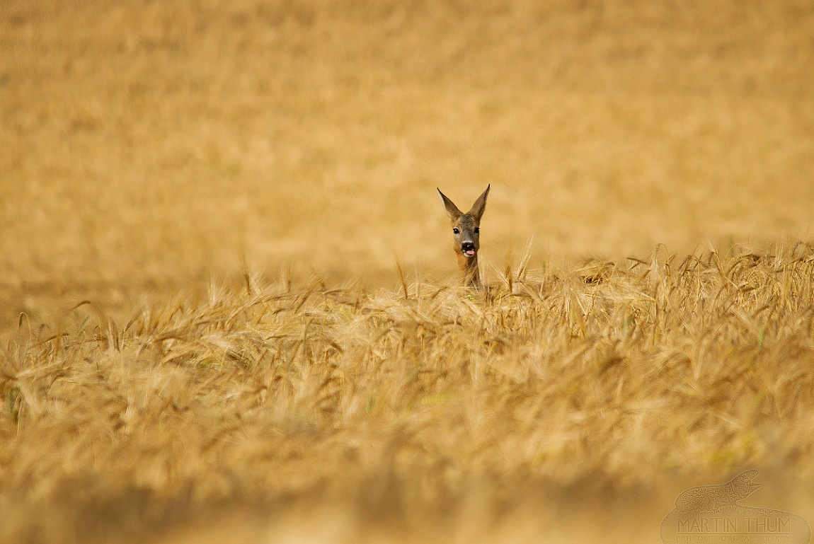 roe deer in wheat by Thum