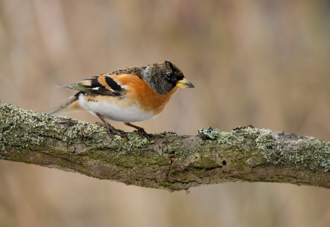 finch by Thum