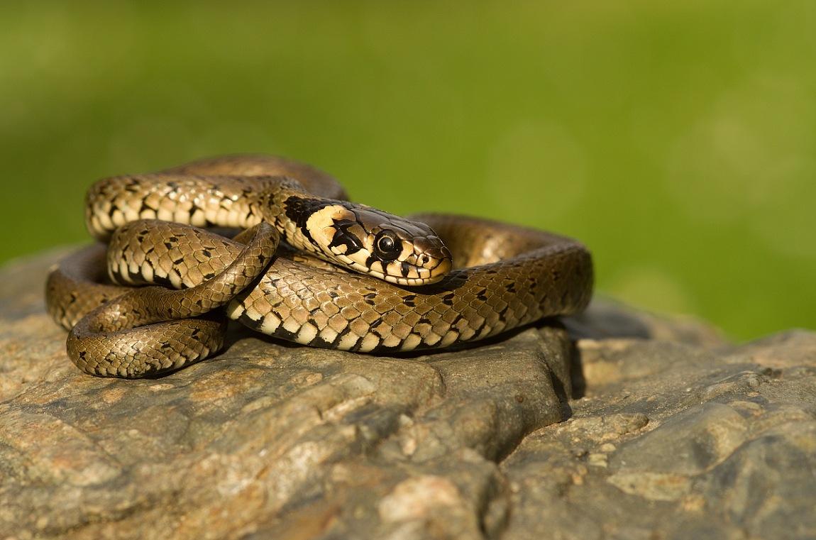Grass snake by Thum