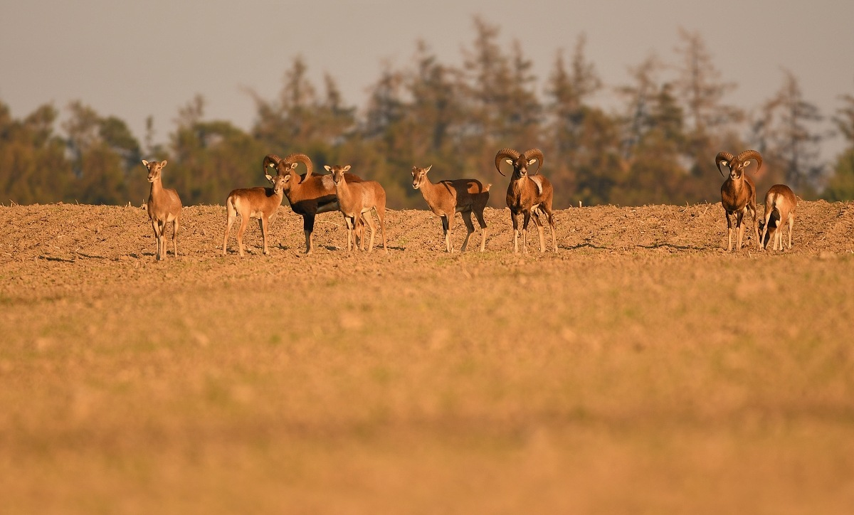 Moufflon families in the sunset by Thum